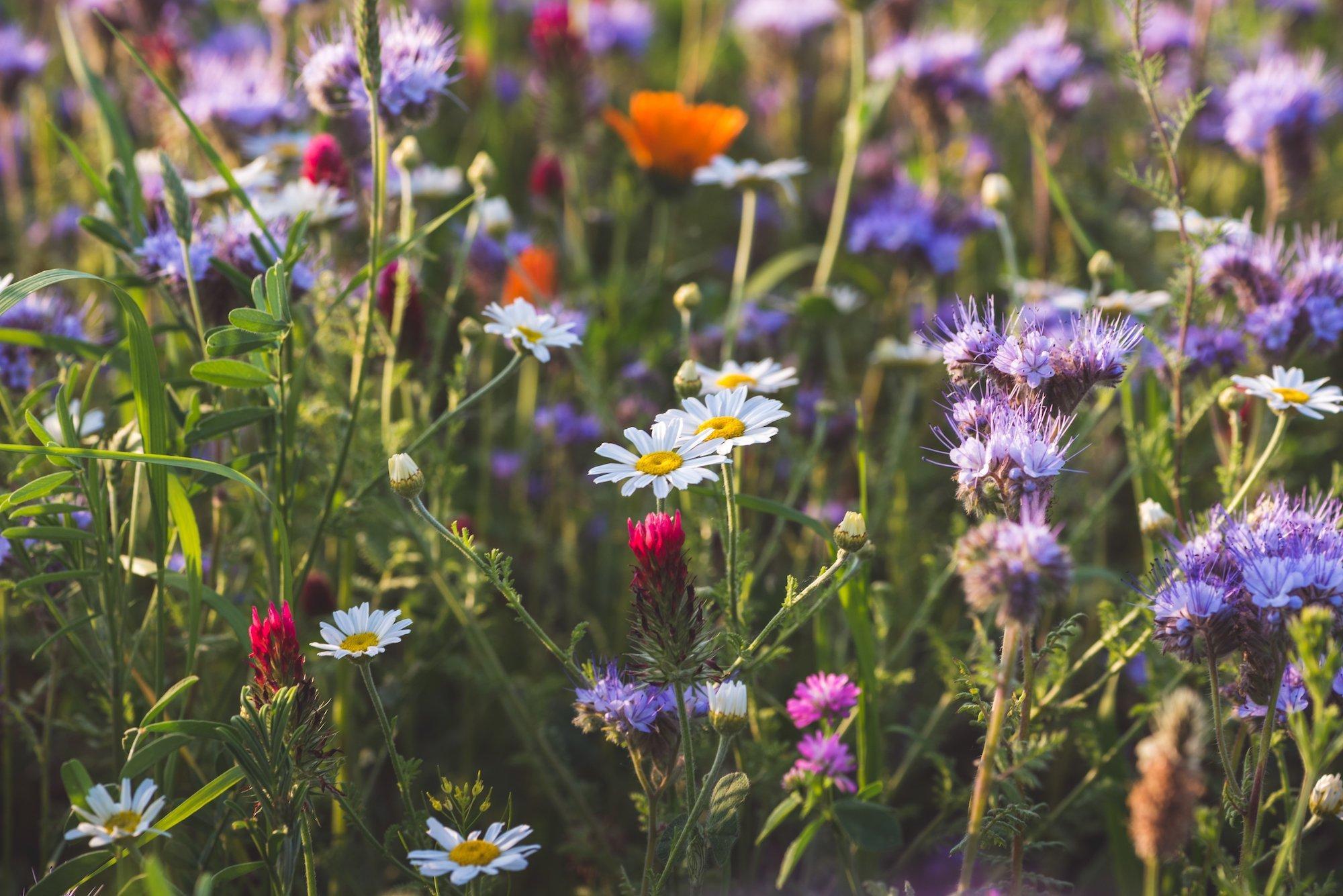 Das Bild zeigt eine Blumenwiese in Österreich mit zahlreichen verschiedenen Arten, darunter Margeriten und Ringelblumen.