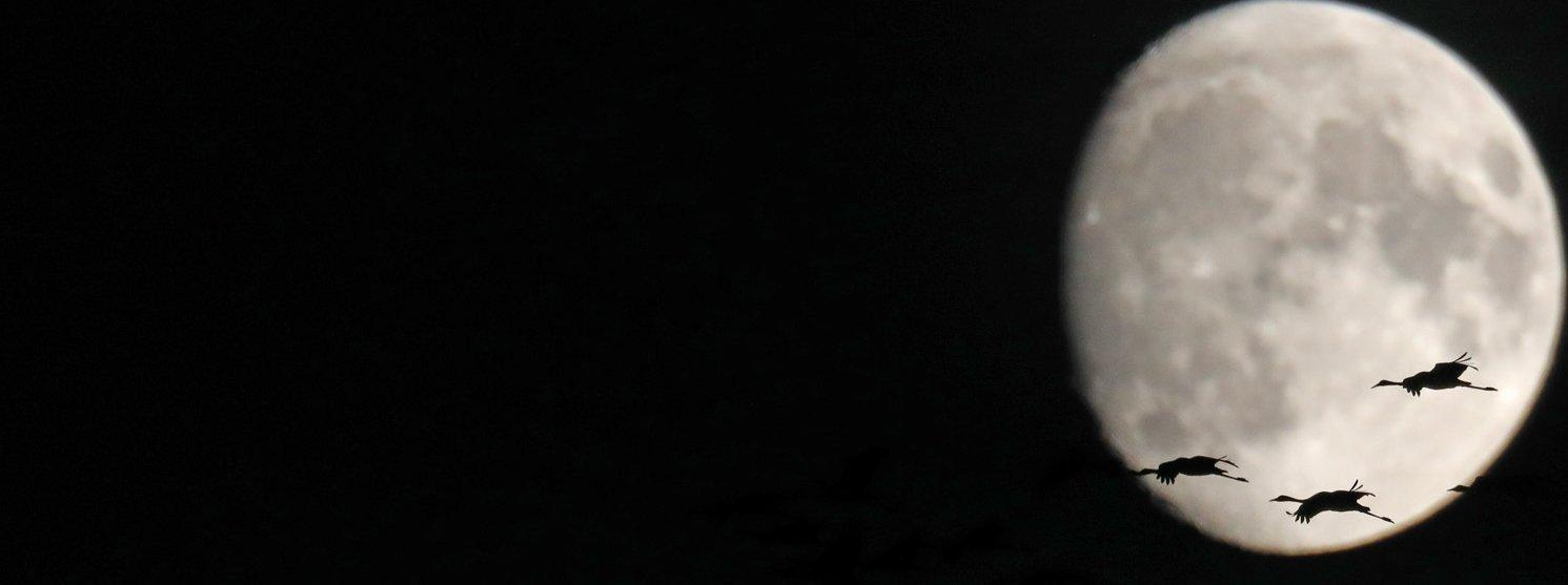 Eine Gruppe Kraniche bei Dunkelheit vor dem Vollmond, nur als Silhouetten erkennbar