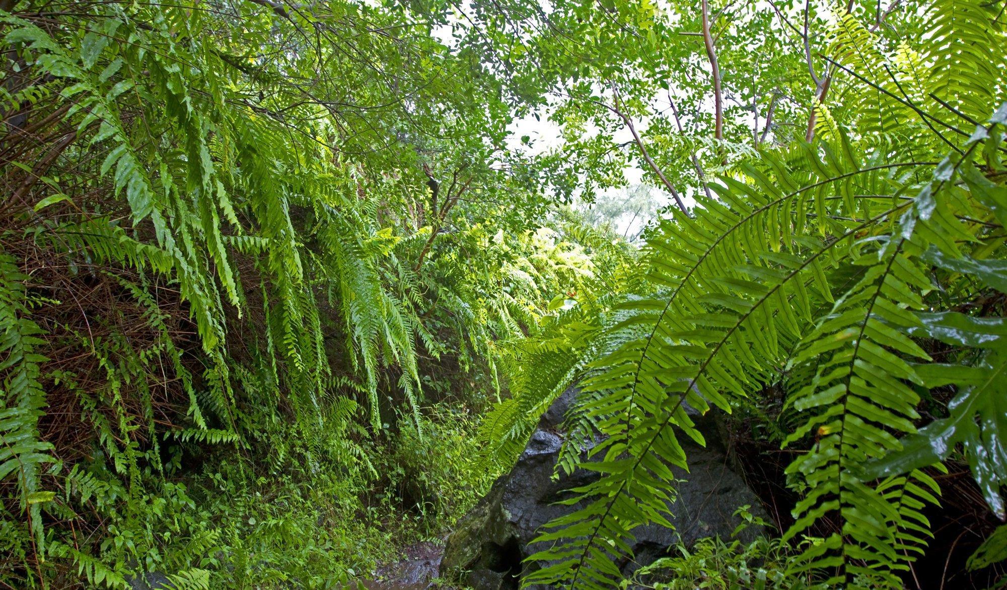 Eine Nahaufnahme eines Regenwalds mit dichtem Farn auf La Reunion