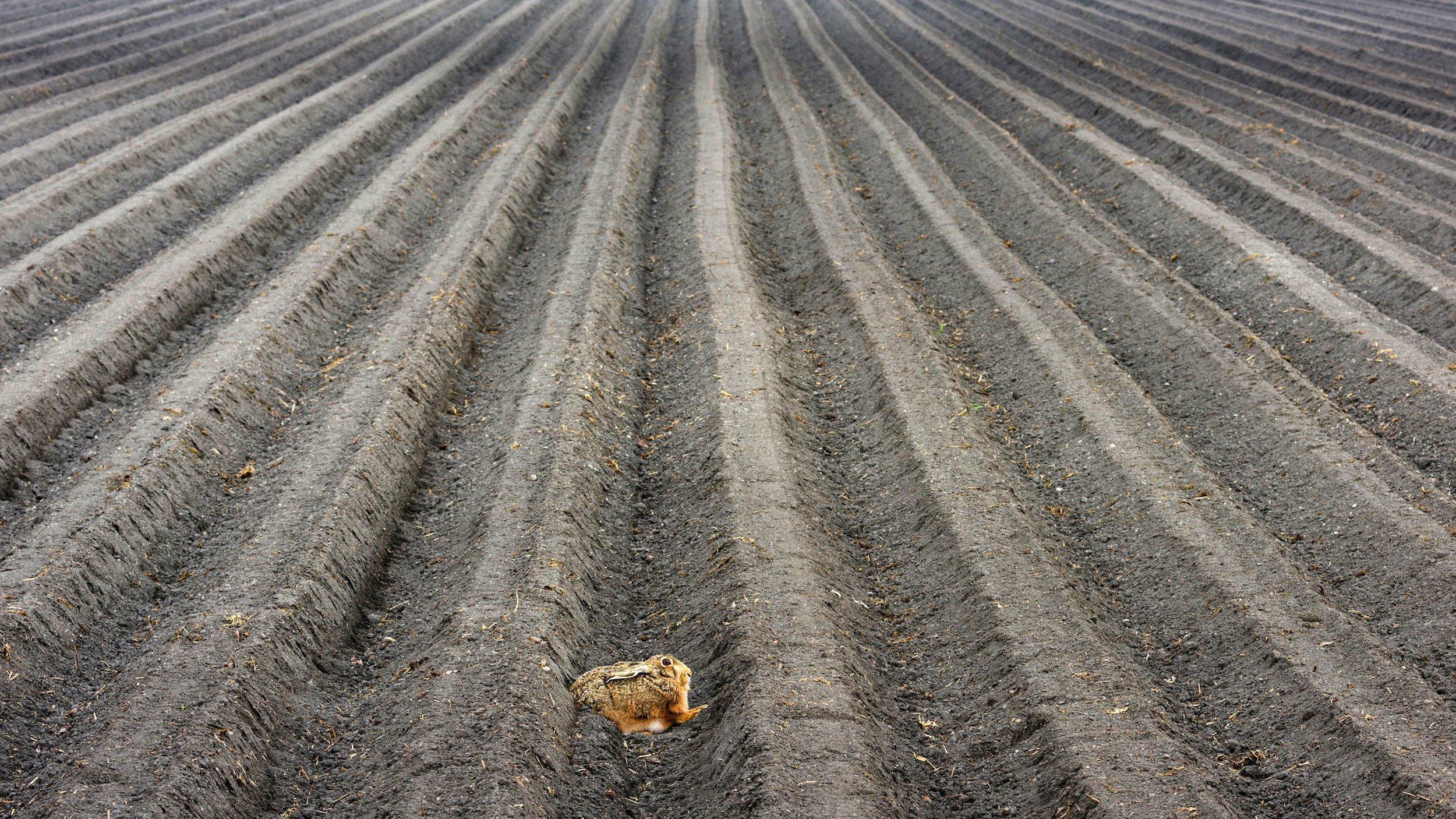 Ein Hase drückt sich in einer ausgeräumten Agrarlandschaft in eine Furche.