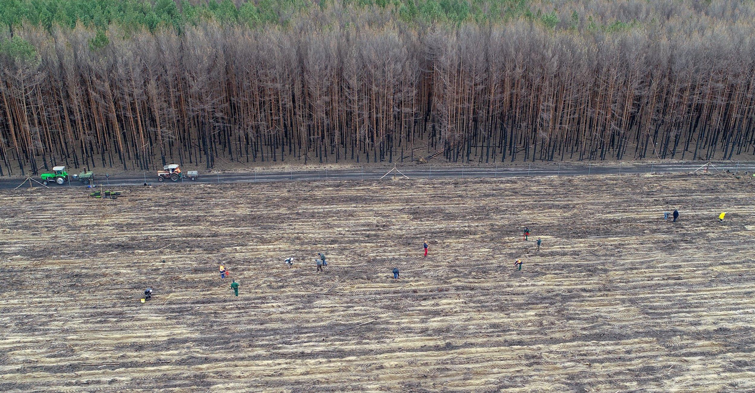 Die Luftaufnahme zeigt in der oberen Hälfte eine Kiefern-Monokultur mit Brandschäden, in der unteren Hälfte Menschen auf einer kahlen Fläche, die Bäume pflanzen.