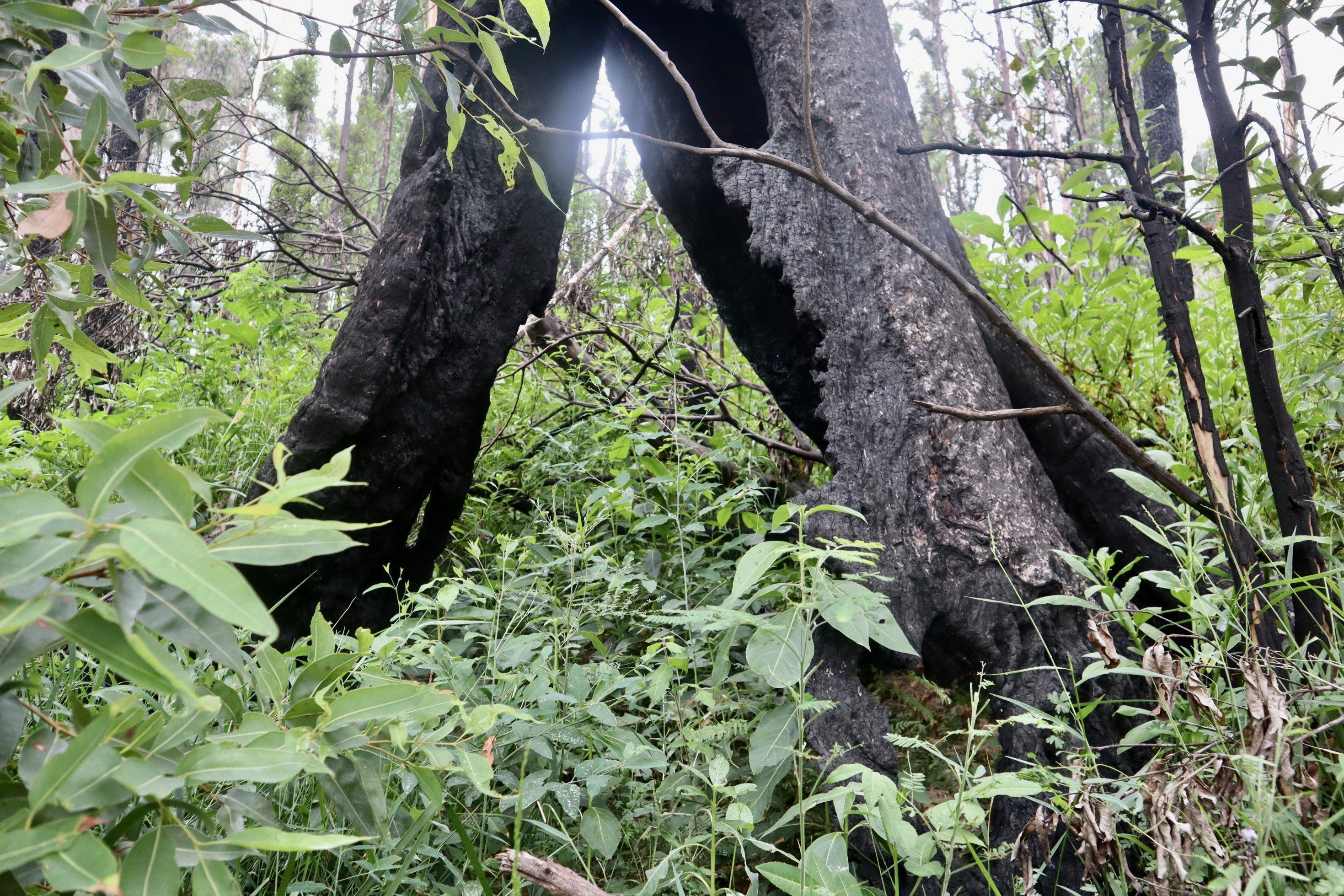 Ein alter, ausgebrannter Baumstumpf vor frischem Grün. Ein Jahr nach dem Feuer sprießt im  Wald hinter Angela Frosts Haus neue Vegetation.