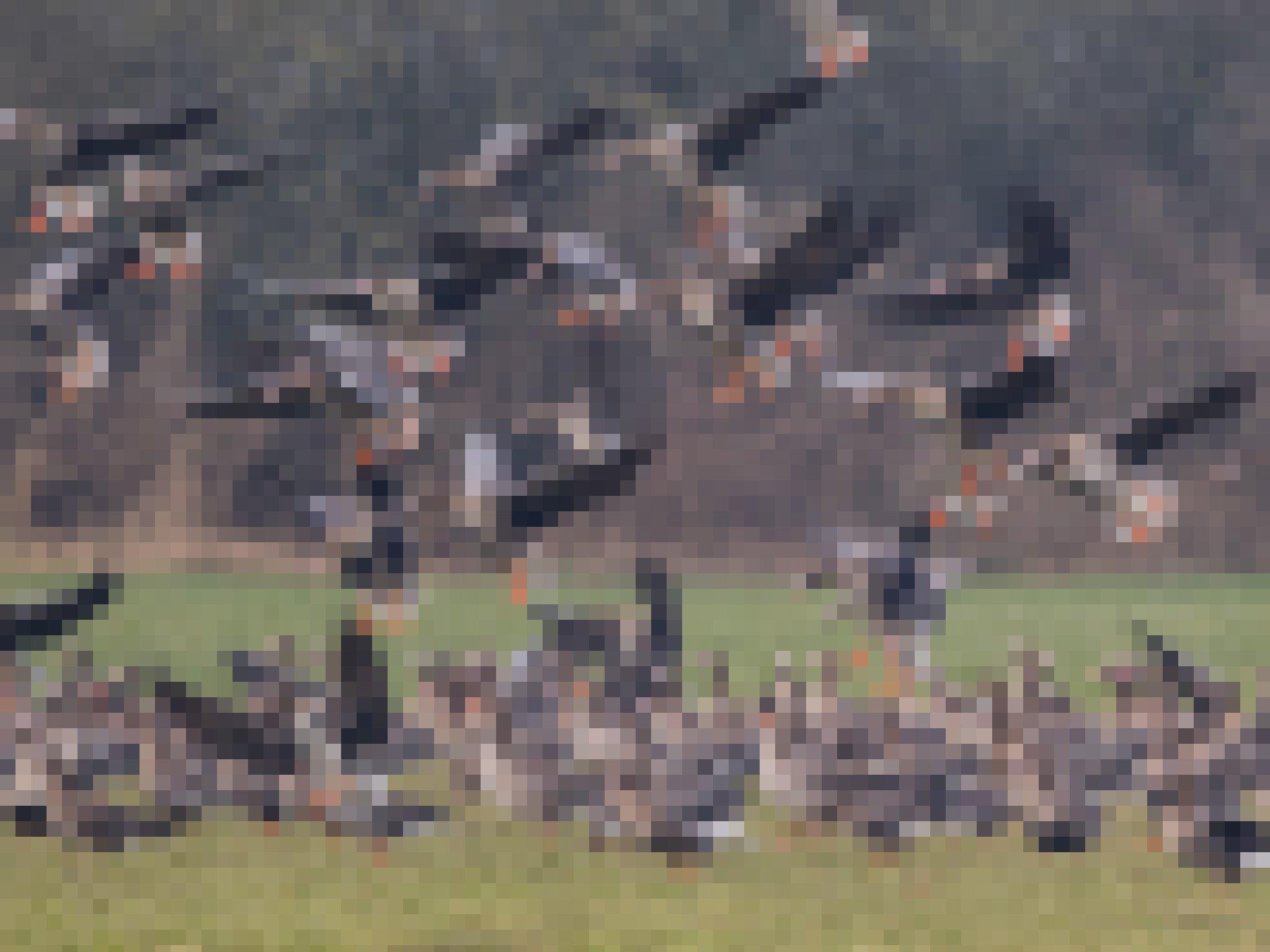Ein Trupp Blessgänse landet auf einer Wiese auf der Bislicher Insel.
