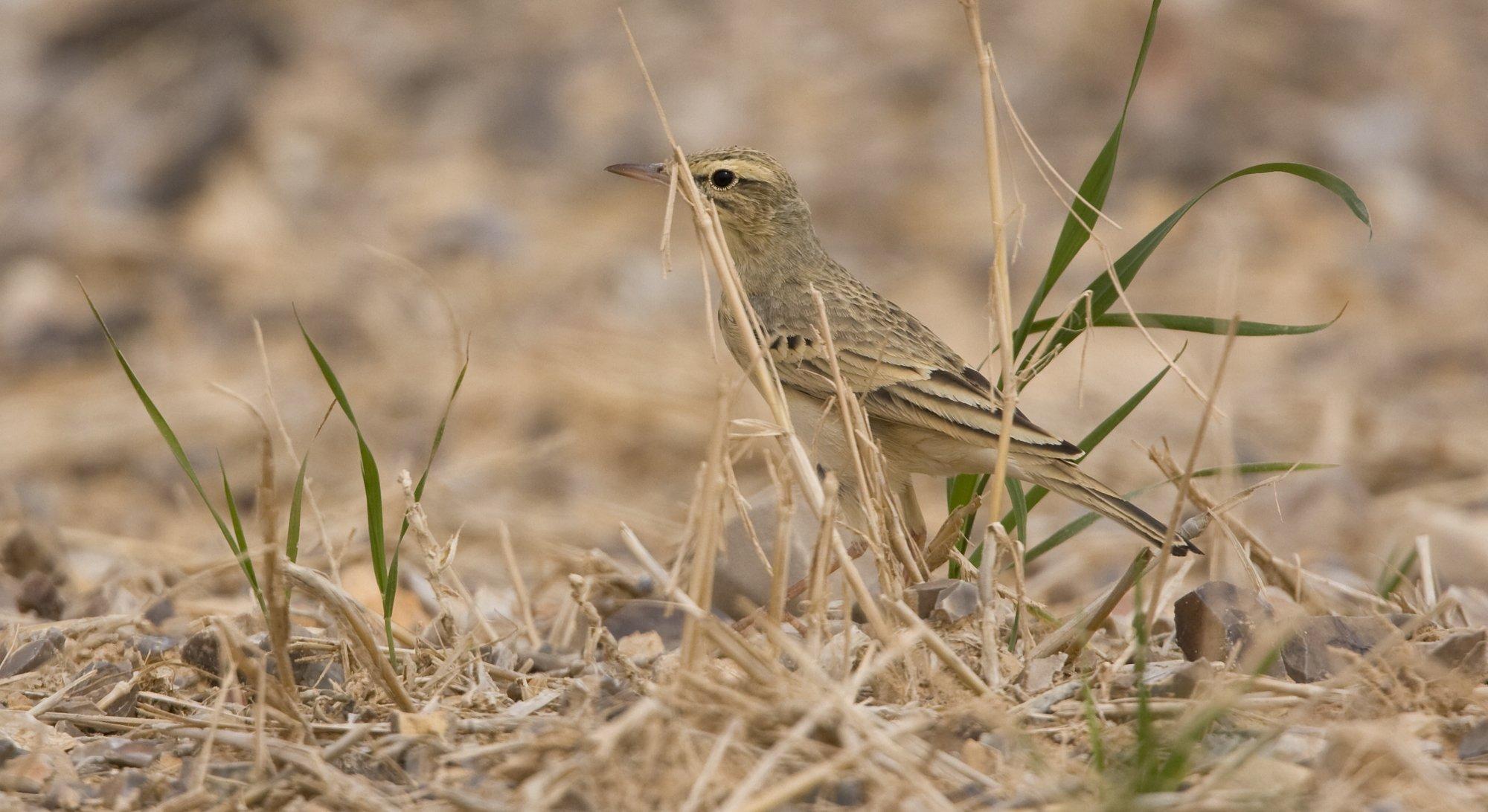 Ein kleiner brauner Vogel sitzt im trockenen Gras auf einer Wiese