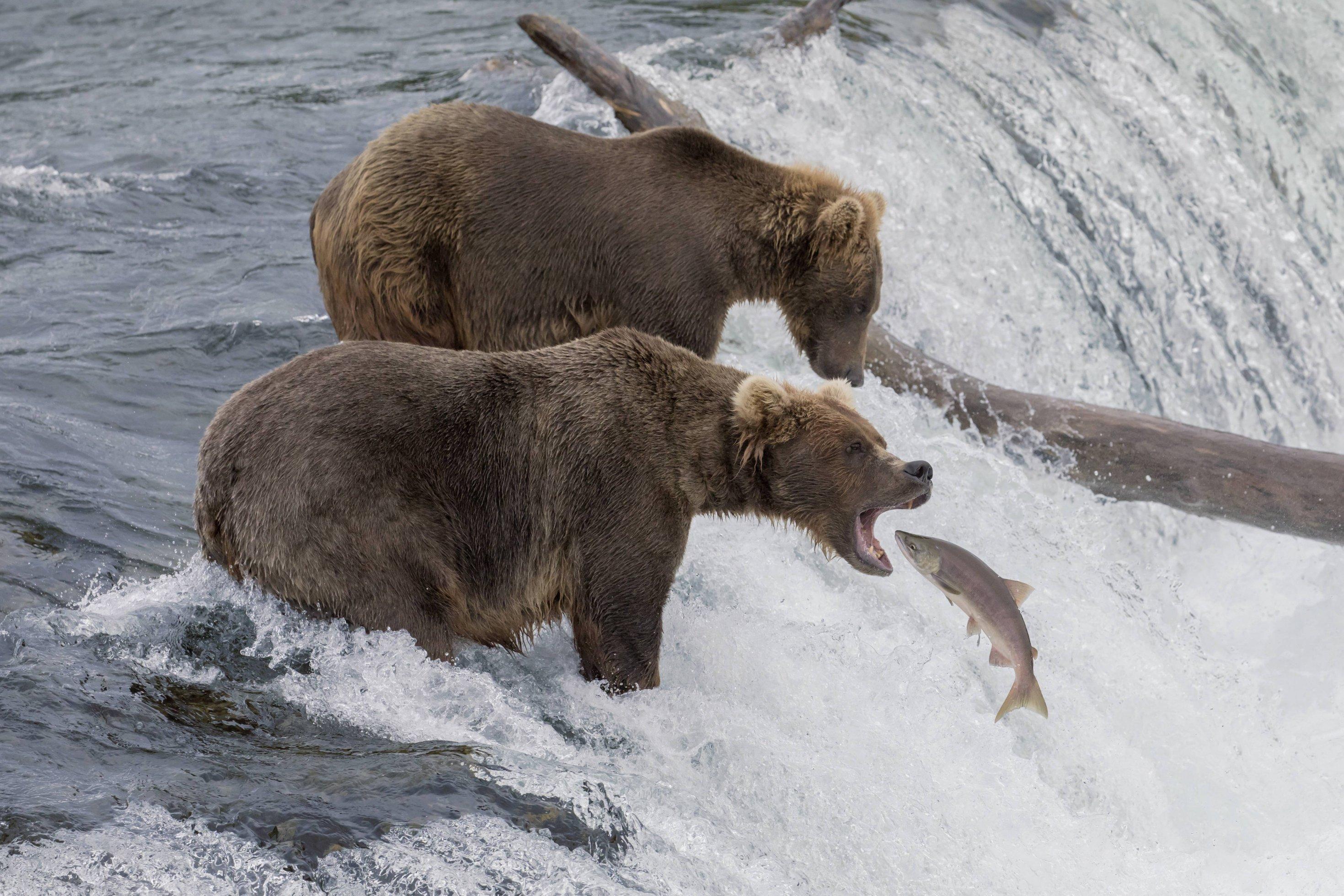 Braunbär sitzt in einem Fluss. Springender Lachs befindet sich direkt vor dem Maul des Bären.