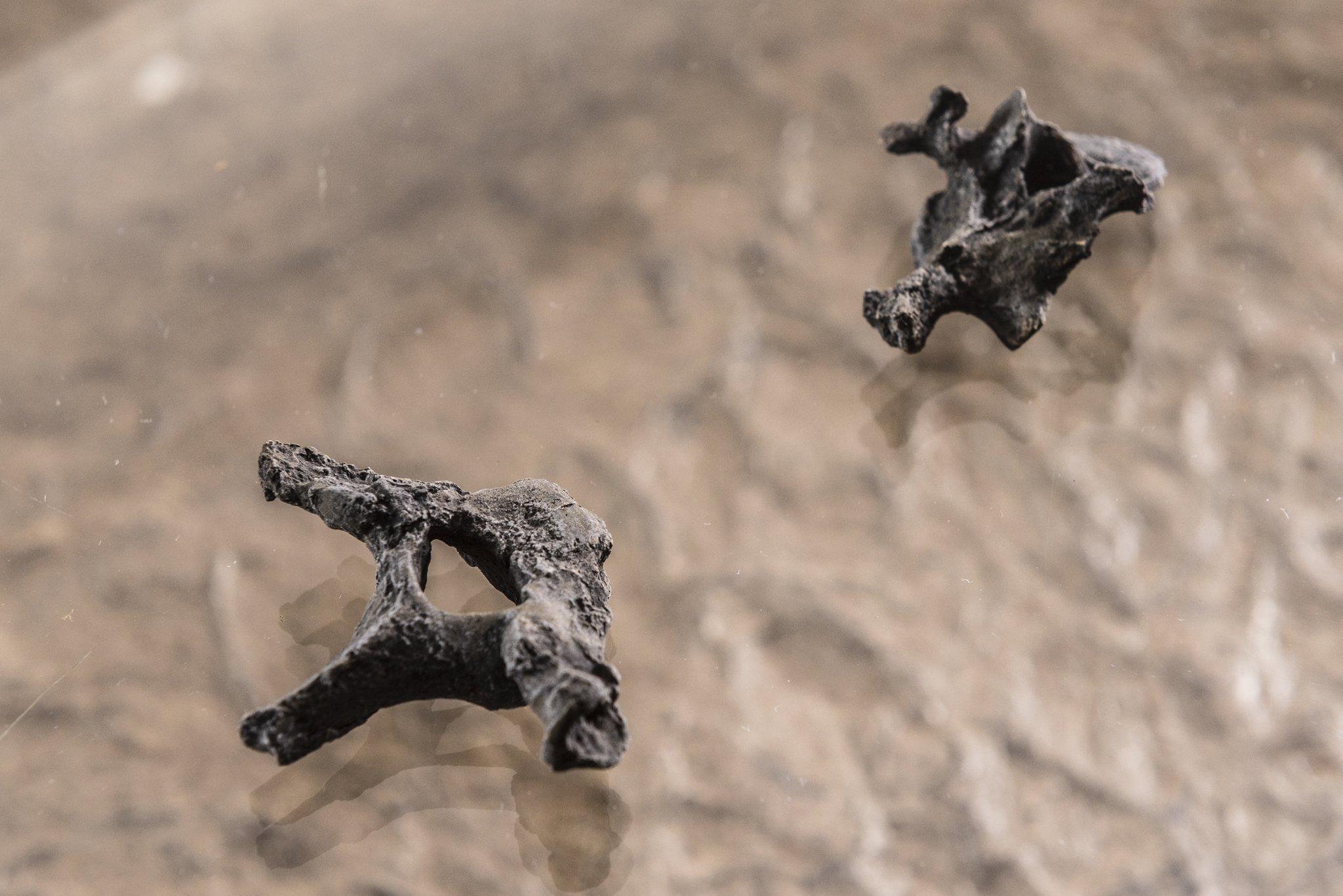 Abgebildet sind die beiden gefundenen Brustwirbel von Danuvius – flache Knochen mit drei Spitzen an der Seite und einem Loch in der Mitte. Die Form der Wirbel zeigt den Paläoanthropologen, dass der Urzeit-Affe einen breiten Brustkorb besaß, und das wiederum ist ein Indiz für den aufrechten Gang. Denn Menschen haben einen breiteren Brustkorb als Affen.