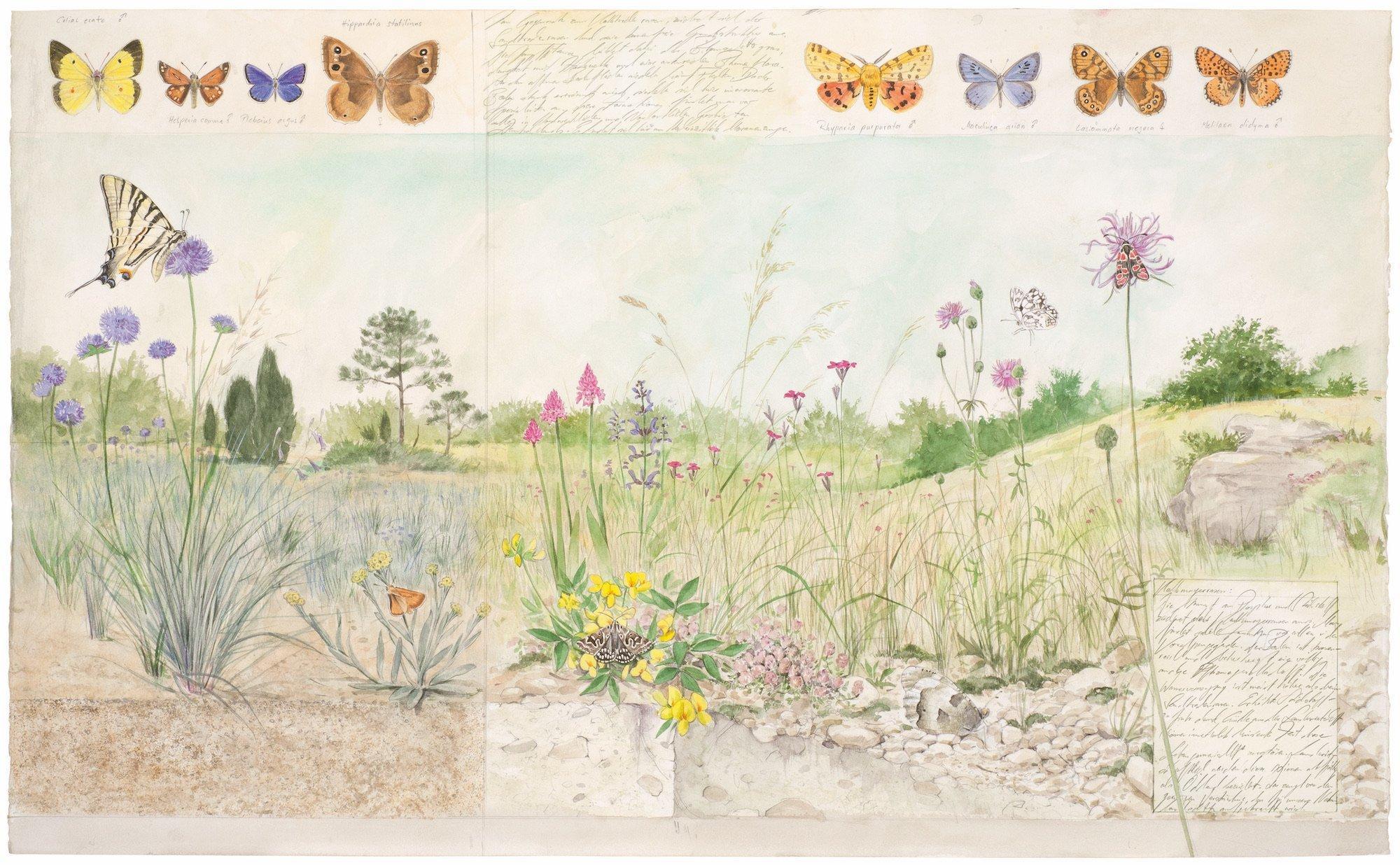 Die Zeichnung zeigt einen Magerrasend mit einer Fülle von Pflanzenarten und gaukelnden Schmetterlingen.