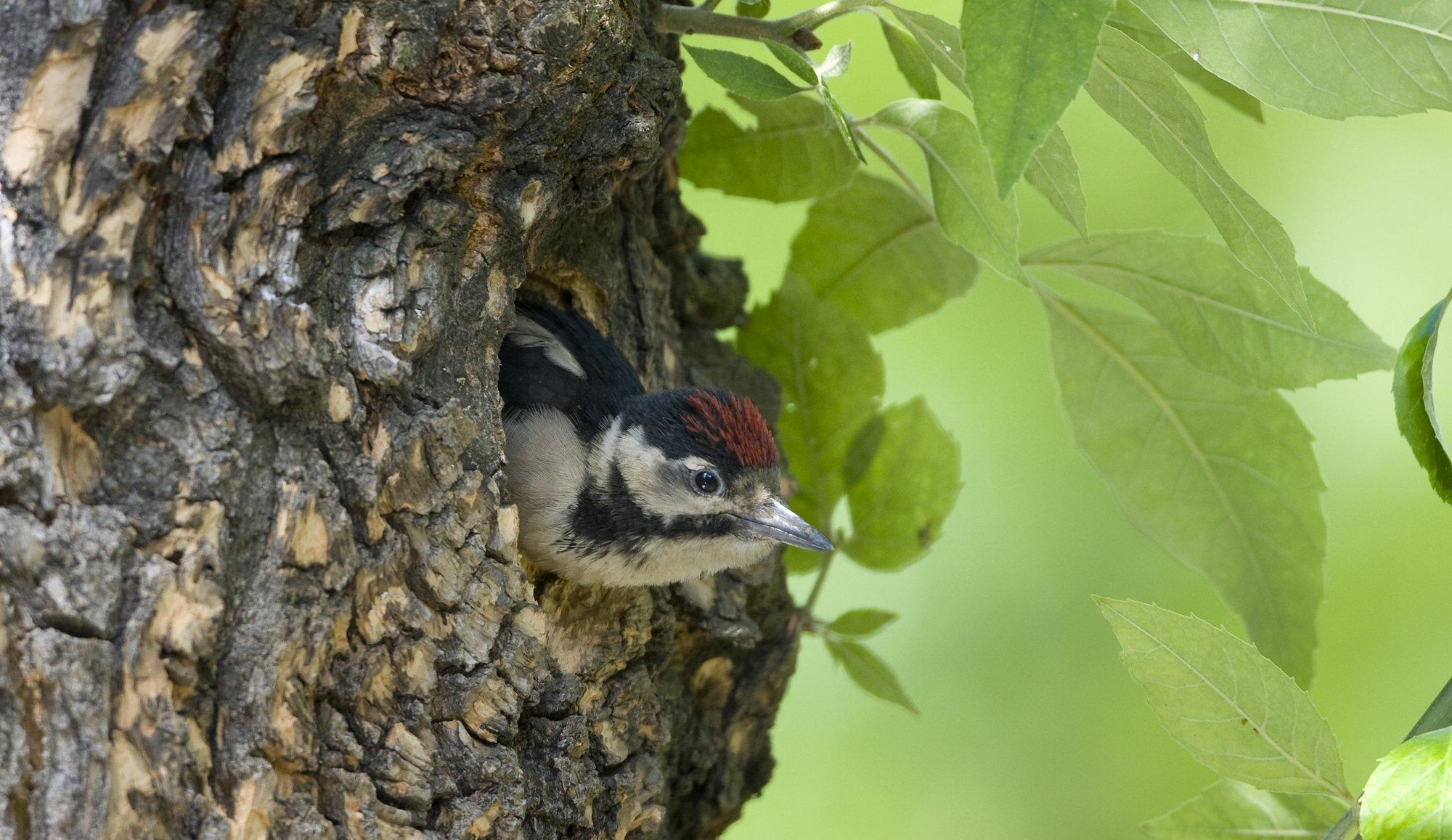 Ein Buntspecht schaut mit dem Kopf aus einer Baumhöhle heraus