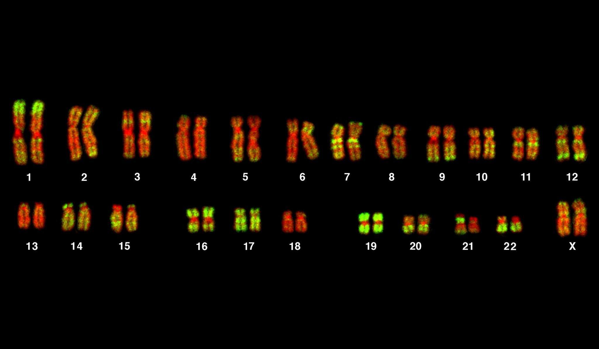 Zu sehen sind 46nebeneinander angeordnete, leuchtend rot und grün schimmernde Stäbchen auf schwarzem Untergrund. Es sind die Chromosomen des Menschen, in denen das Erbgut organisiert ist. Forscher entdeckten zu ihrem Erstaunen, dass mehr als acht Prozent der DNA gar nicht vom Menschen, sondern von Viren stammen. Die Krankheitserreger haben im Lauf der Evolution ihr eigenständiges Dasein aufgegeben und sich in den menschlichen Genbestand integriert. Das war für den Menschen kein Nachteil, denn einige der Viren-Gene haben für den Menschen heute durchaus nützliche Eigenschaften.