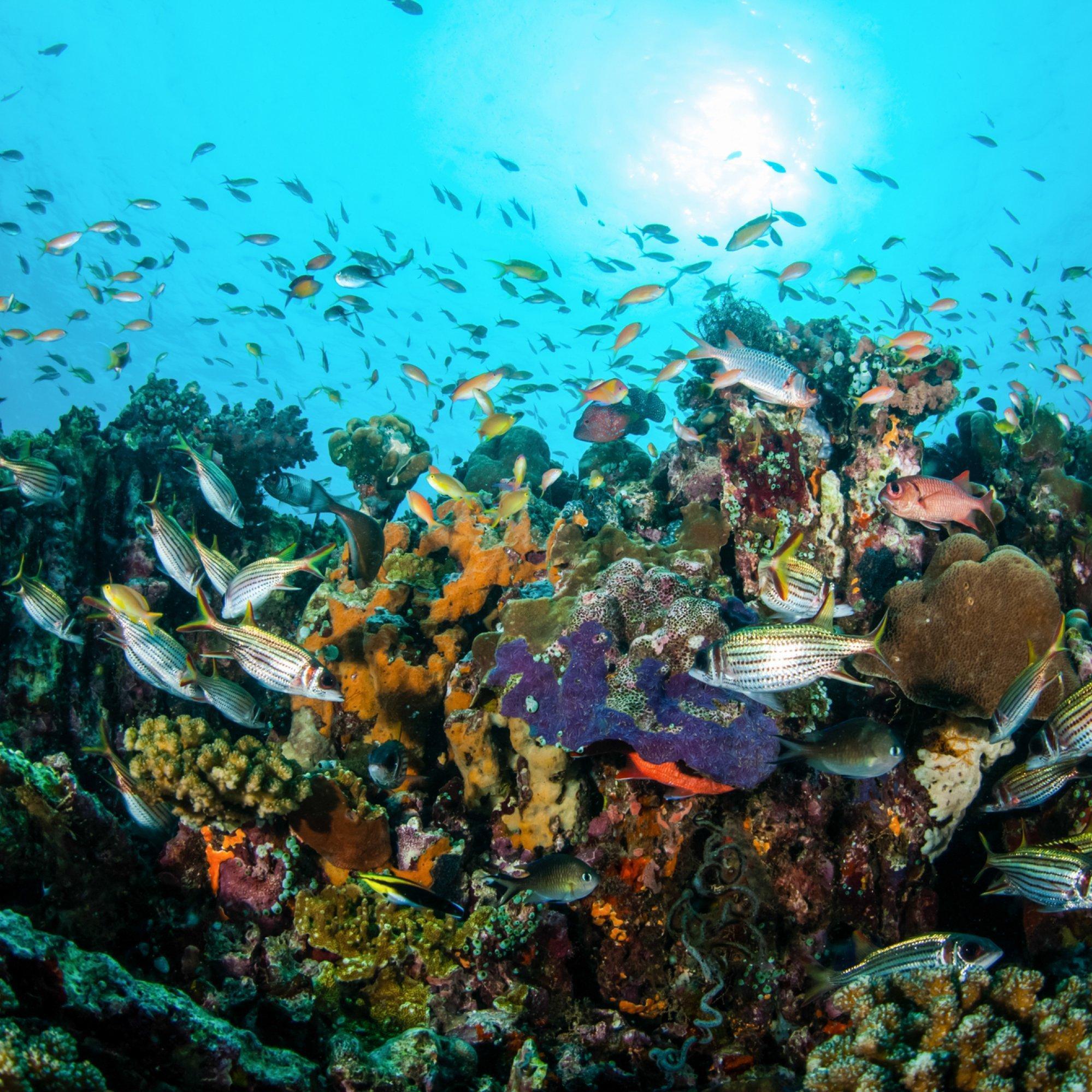 Das Bild zeigt quirlige Fischschwärme vor einem Korallenriff