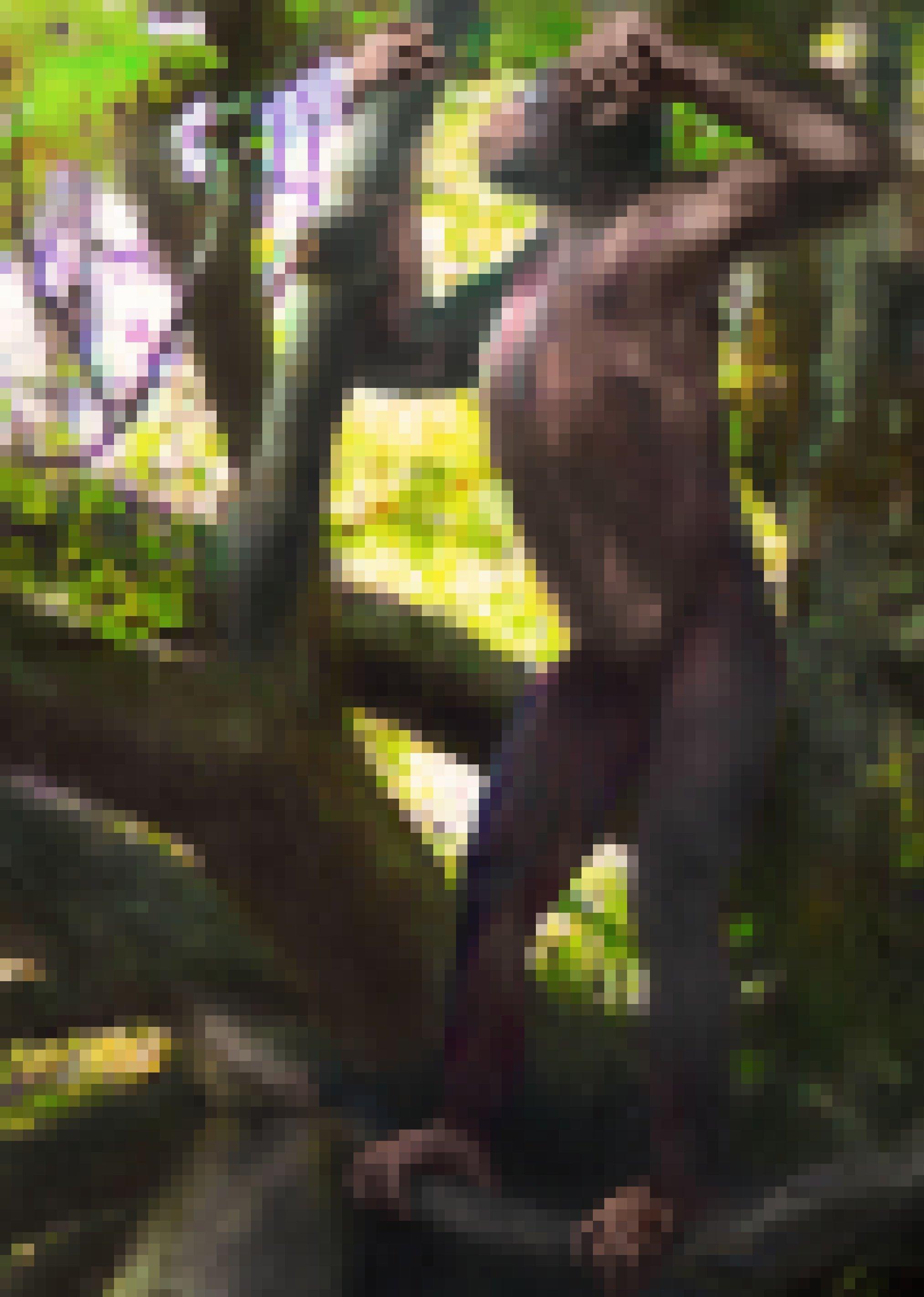 """Die künstlerische Darstellung zeigt den Menschenaffen """"Udo"""" (Danuvius guggenmosi), wie er aufrecht auf einem Ast steht. Er konnte aber auch in den Bäumen klettern. Der in Bayern entdeckte Ur-Europäer lebte vor zwölf Millionen Jahren."""