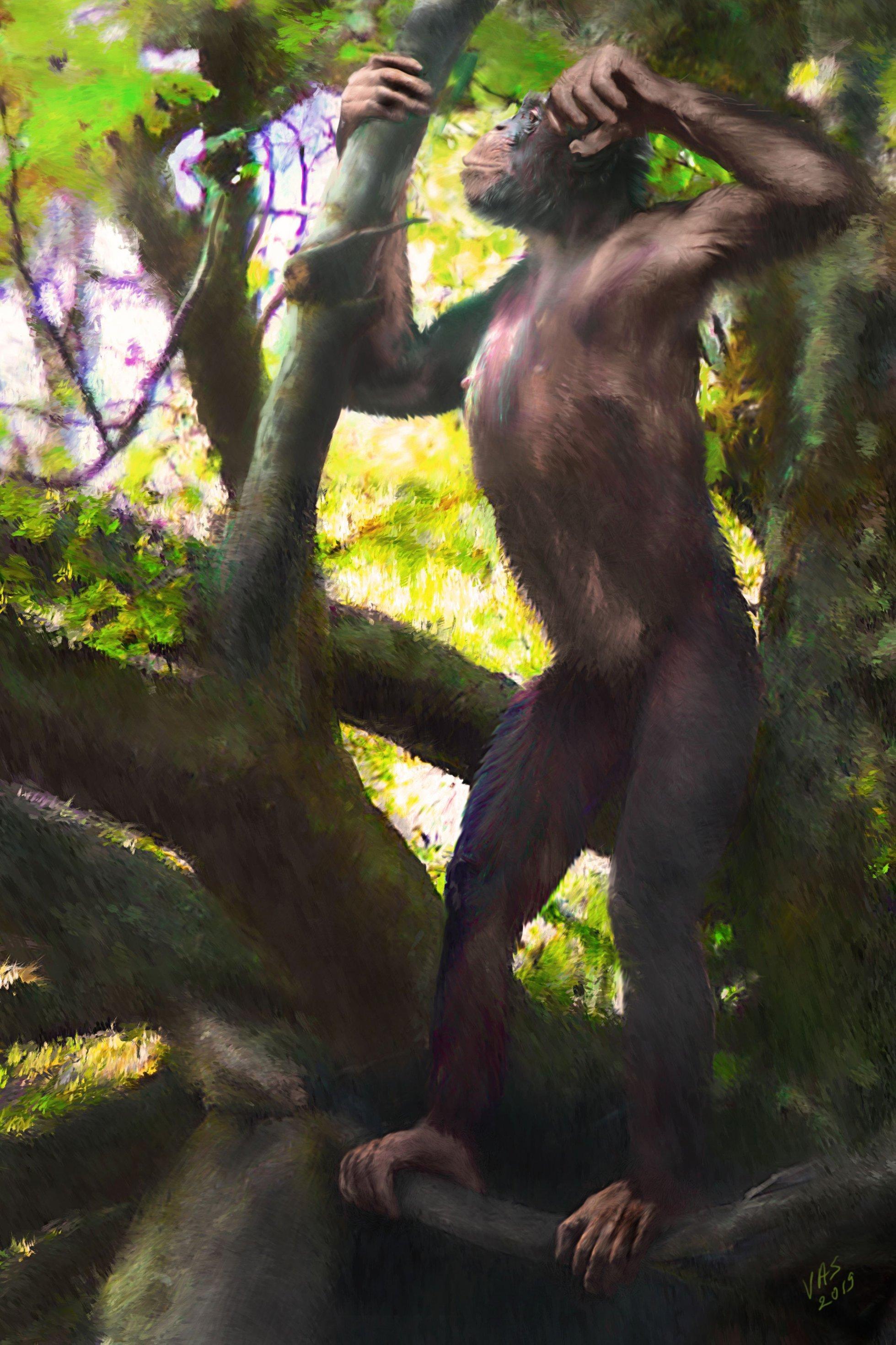 """Das Bild zeigt den Menschenaffen """"Udo"""" als künstlerische Darstellung. Udo lebte vor zwölf Millionen Jahren in Europa und konnte sich aufrecht auf zwei Beinen fortbewegen. Sein lateinischer Name lautet Danuvius guggenmosi."""
