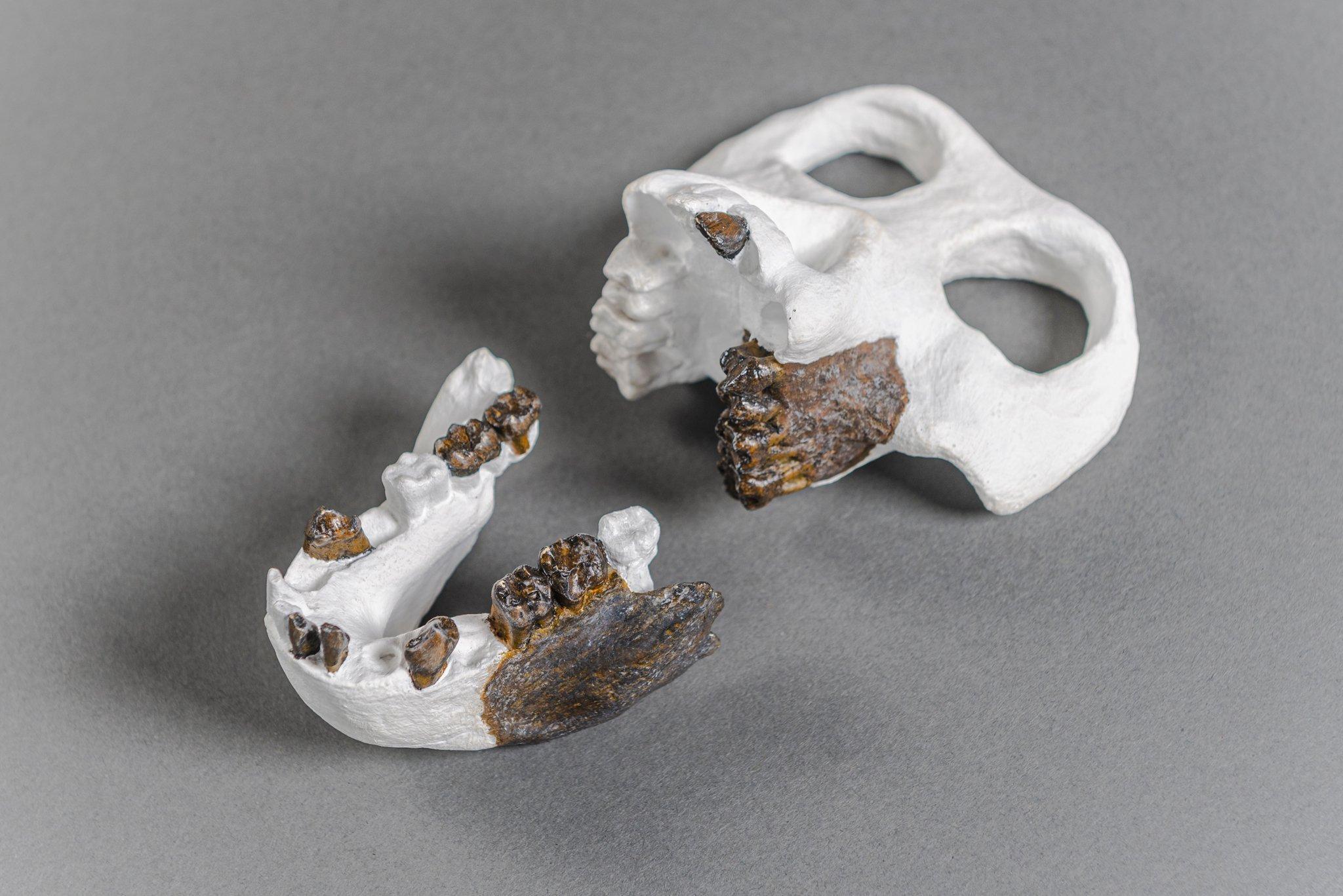 Das Foto zeigt eine Rekonstruktion des gesamten Schädels von Danuvius anhand der gefundenen fossilen Kieferbruchstücke und Zähne. Vor allem die Zähne weisen charakteristische Merkmale auf, die es den Paläoanthropologen ermöglichen, den Fund systematisch einzuordnen, als Art zu definieren und festzustellen mit wem er verwandt ist.