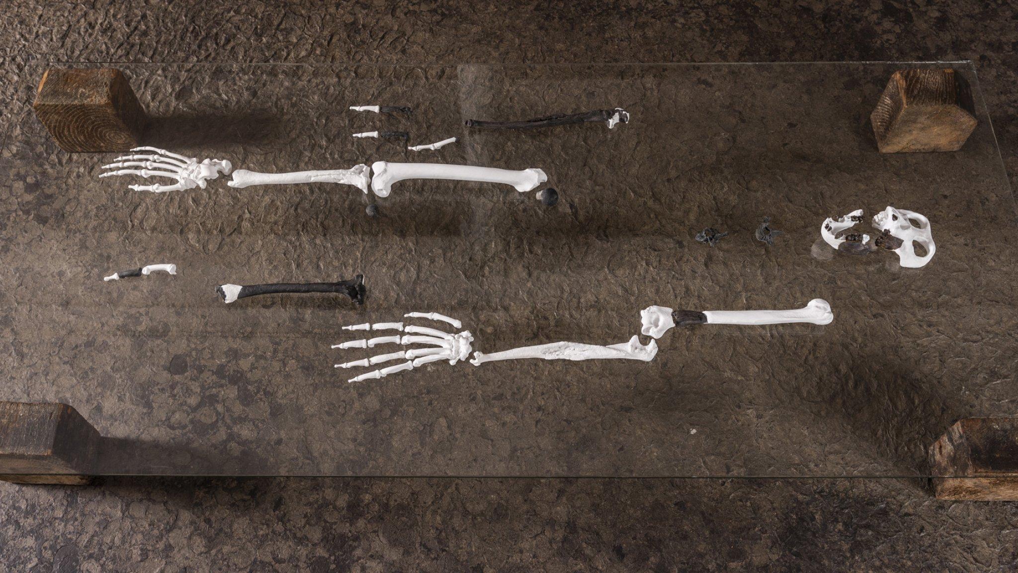 Auf einer Glasplatte haben Forscher das Skelett des aufrecht gehenden Menschenaffen Danuvius guggenmosi ausgebreitet. Nur ein Teil der Knochen ist erhalten, den Rest haben die Forscher rekonstruiert
