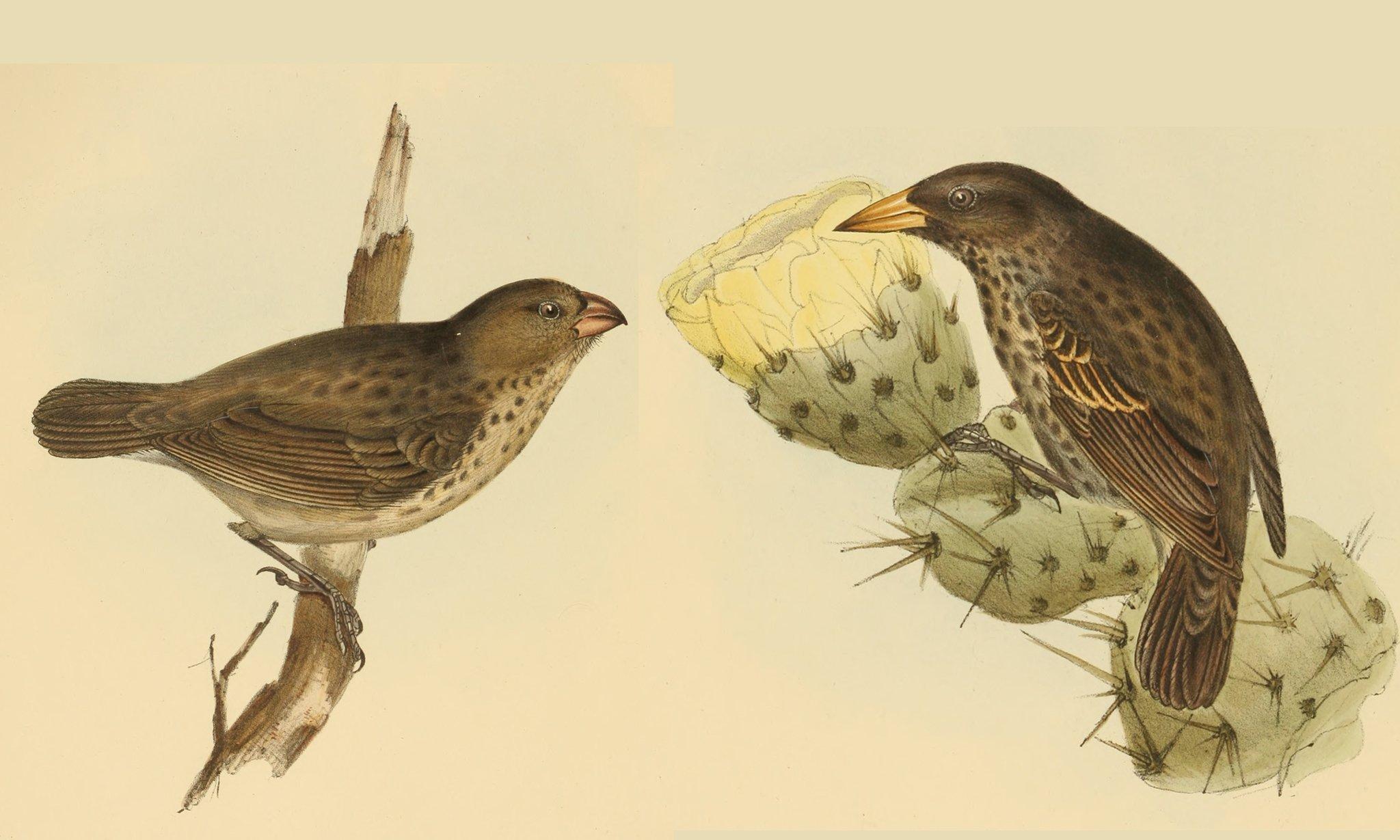 Auf dem Bild sind zwei Beispiele von Finkenarten zu sehen, die Charles Darwin auf den Galapagosinseln erforschte und die der Zeichner John Gould filigran und detailgetreu vor gelblichem Hintergrund darstellte. Der linke sitzt auf einem Zweig und hat einen kurzen, dicken Schnabel. Der rechte sitzt auf einem Kaktus; sein Schnabel ist viel länger und spitzer. Ansonsten sehen sich beide recht ähnlich mit braunem Rücken, beiger Brust und dunklen Punkten. Darwin erkannte, dass beide sich aus demselben Vorfahren entwickelt haben müssen