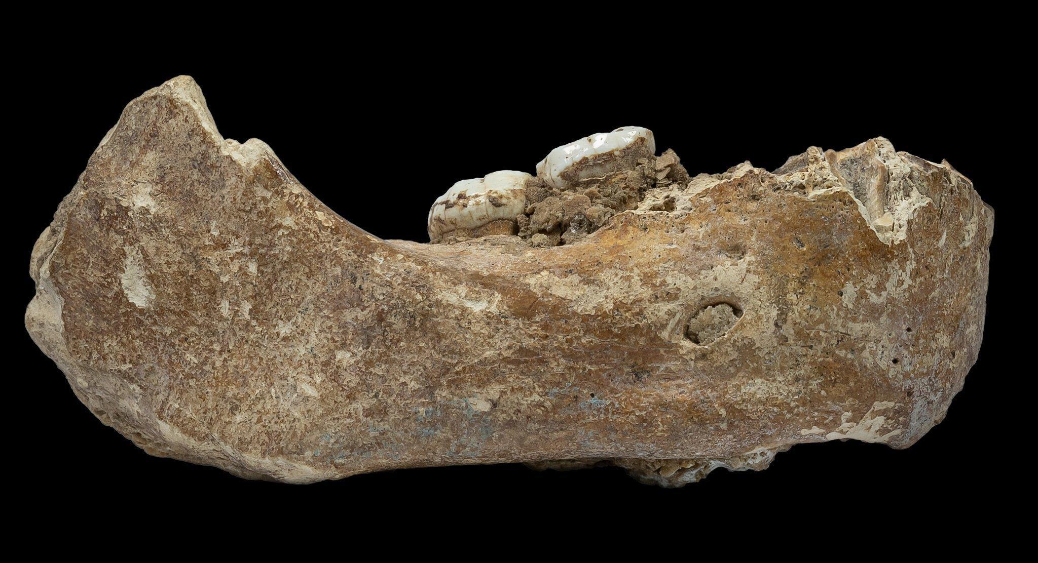 Abgebildet ist der kräftig gebaute, von der Seite fotografierte Unterkiefer eines Menschen, aus dem zwei große Backenzähne herausragen. Er wurde in einer Höhle im Hochland von Tibet entdeckt und ist rund 160.000Jahre alt. Protein-Analysen erweisen ihn als Kiefer eines Denisova-Urmenschen.