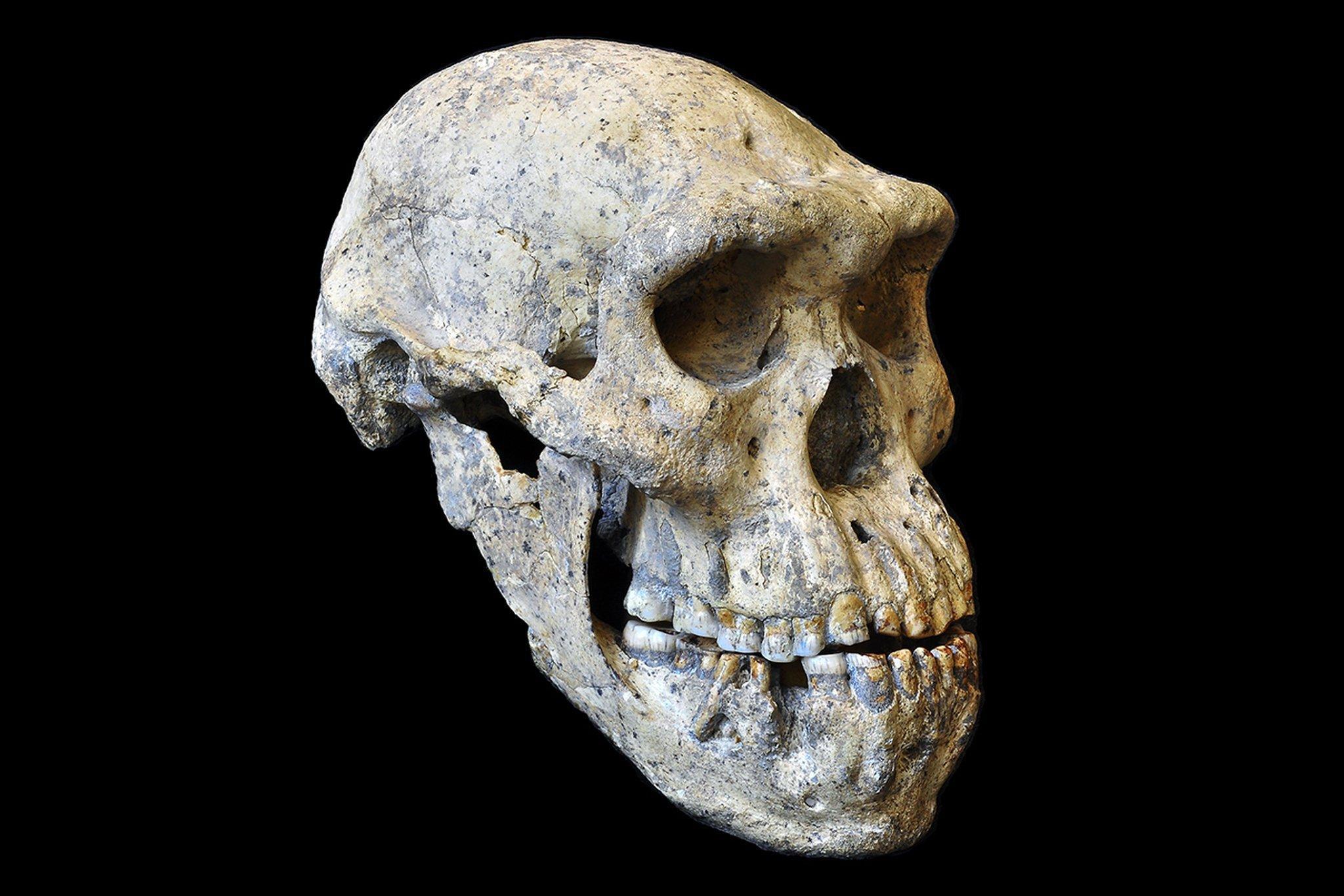 Das Foto zeigt den perfekt erhaltenen versteinerten Schädel, der in der georgischen Ruinenstadt Dmanisi als fünftes Fossil nach vier anderen Schädeln ausgegraben wurde. Der Ur- oder Vormensch besaß ein ungewöhnlich kleines Gehirn, das ein Volumen von nur 546Kubikzentimeter aufwies. Er hatte zudem dicke Überaugenwülste und recht große Kiefer – das alles sind urtümliche Merkmale. Die anderen, an derselben Stelle gefundenen Schädel wirken dagegen deutlich moderner. Aber alle stammen aus dergleichen Zeit vor 1,8Millionen Jahren.