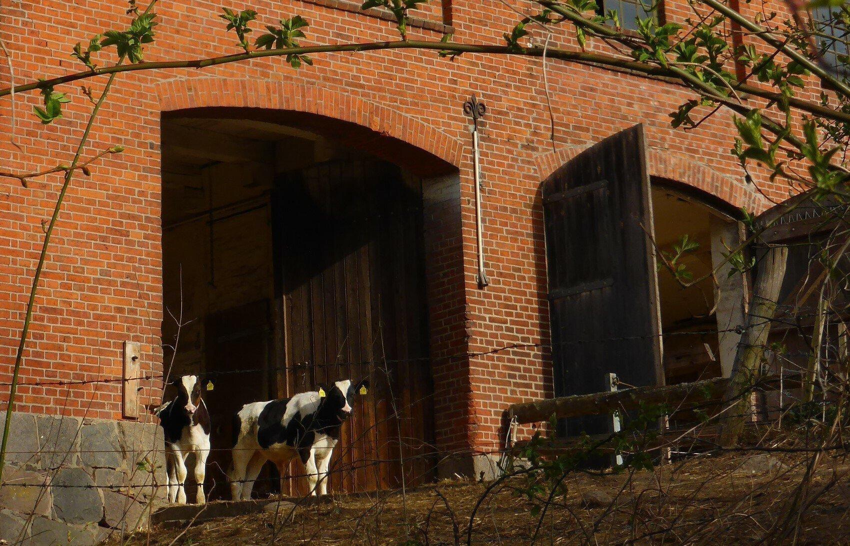 Vor dem offenen Tor eines Backsteins-Stallgebäudes lugen zwei Holstein-Kälber in die Morgensonne.