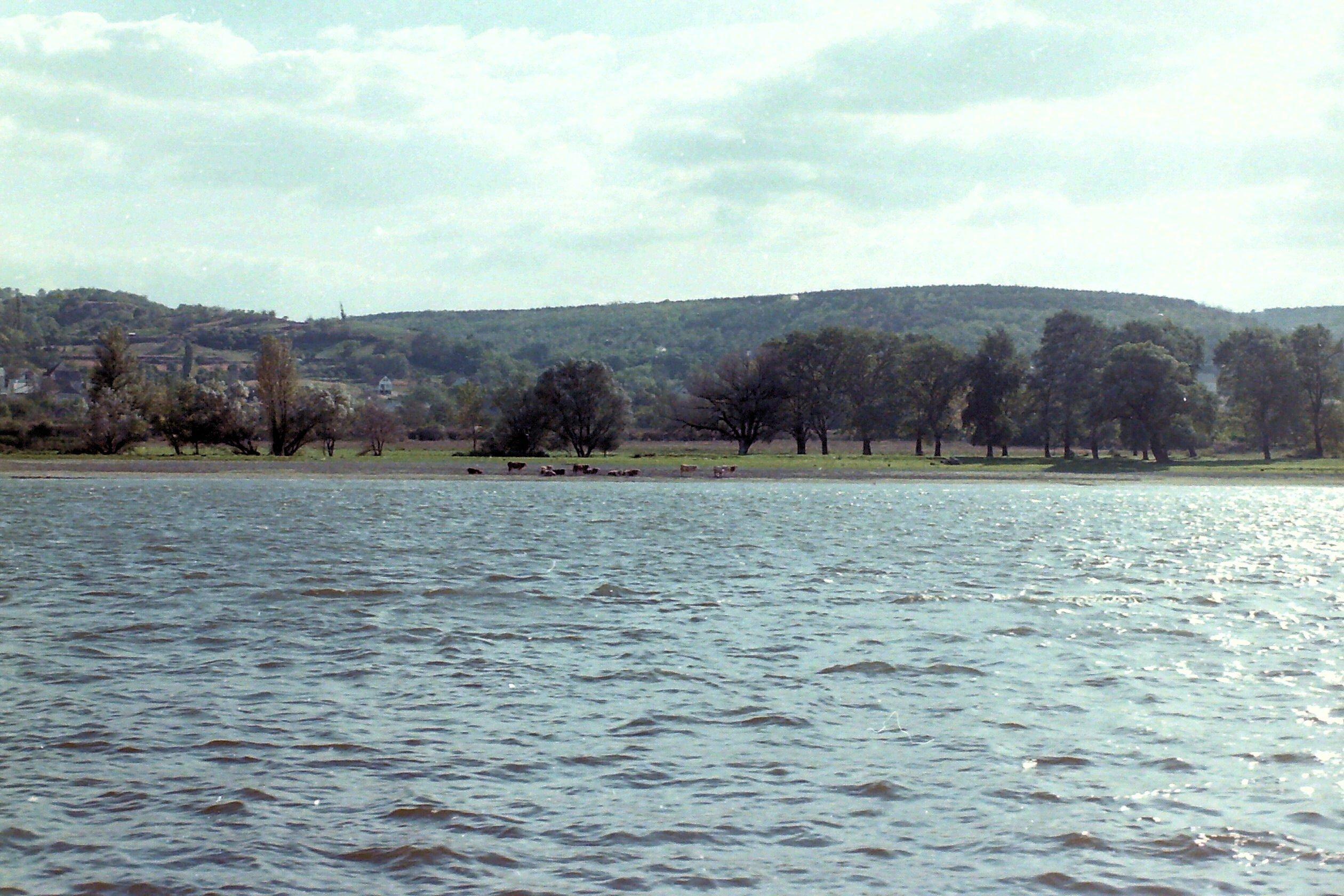 Fluss mit Kühen am Ufer