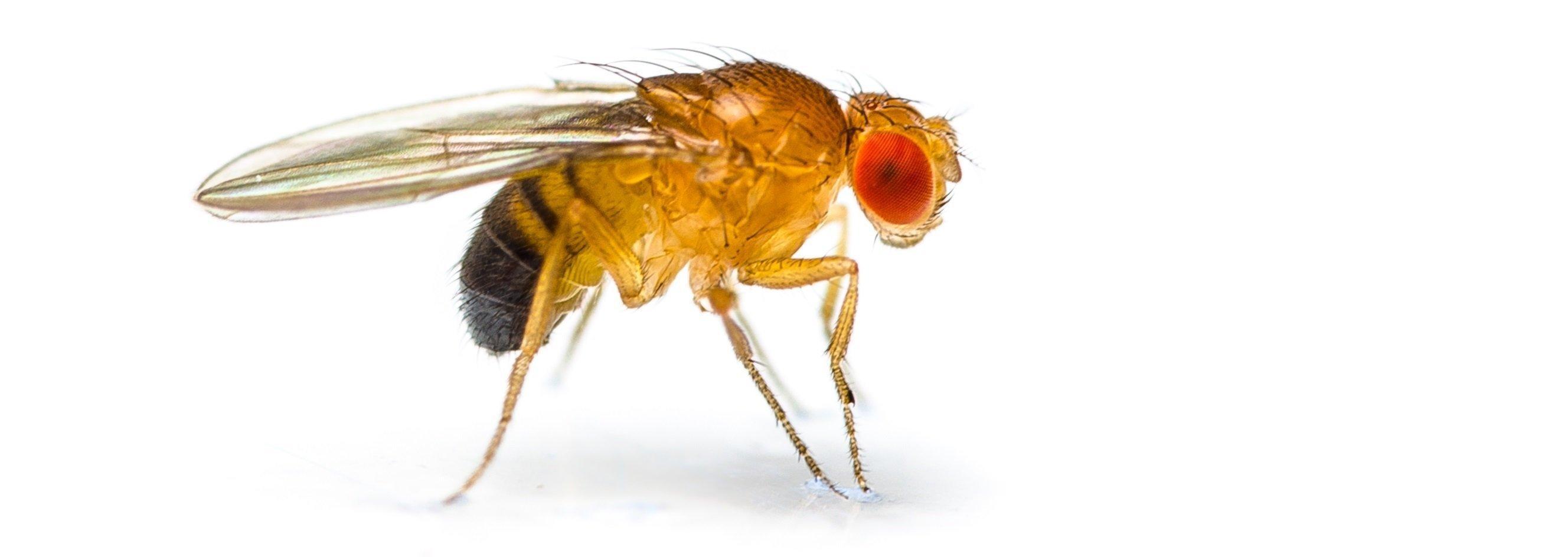 Eine rotäugige Fruchtfliege Drosophila melanogaster vor weißem Hintergrund