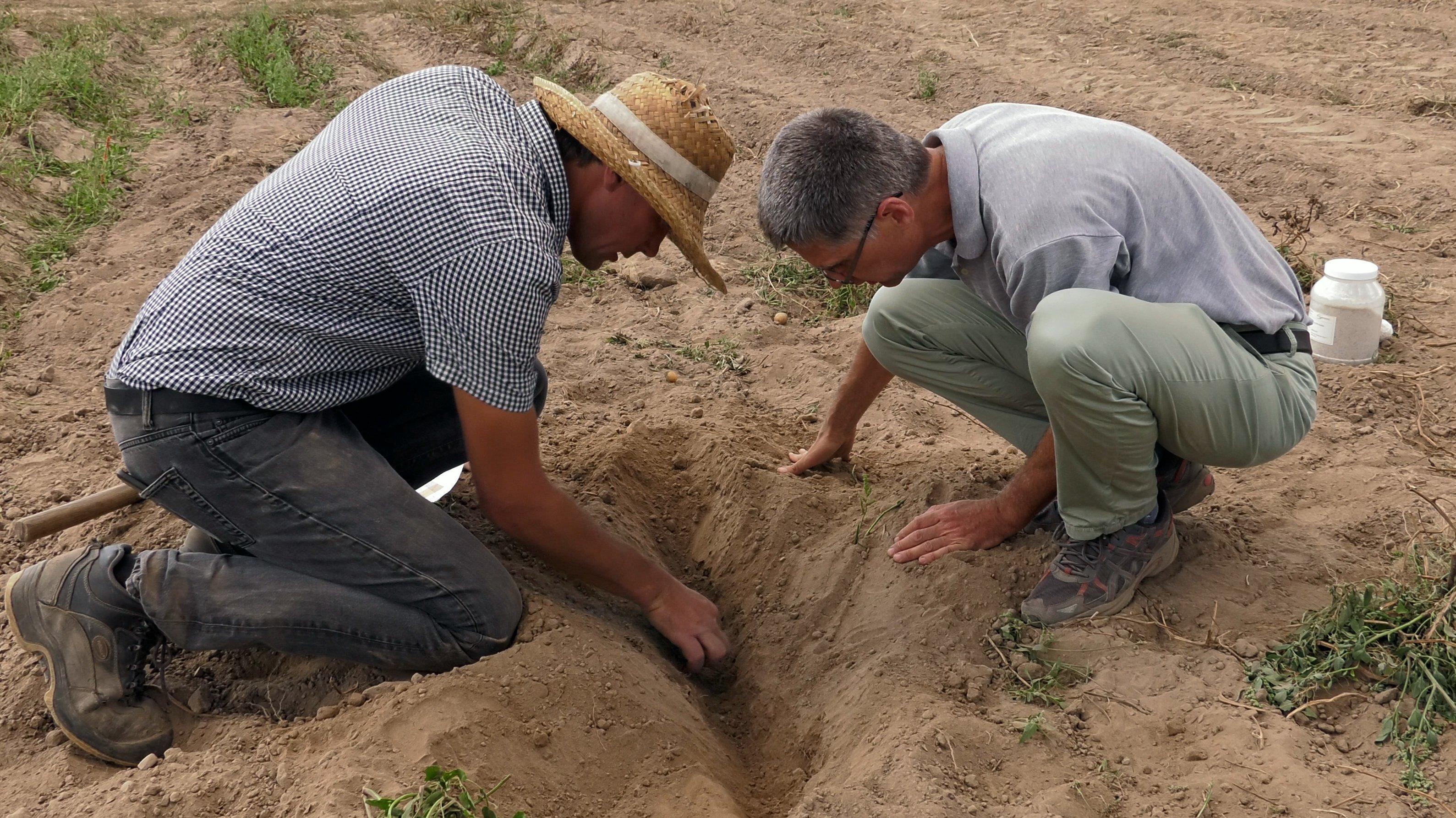 Andreas Muskolus und Joachim Clemens knien im Feld und sehen nach, ob die Struvit-Pellets noch an Ort und Stelle sind.