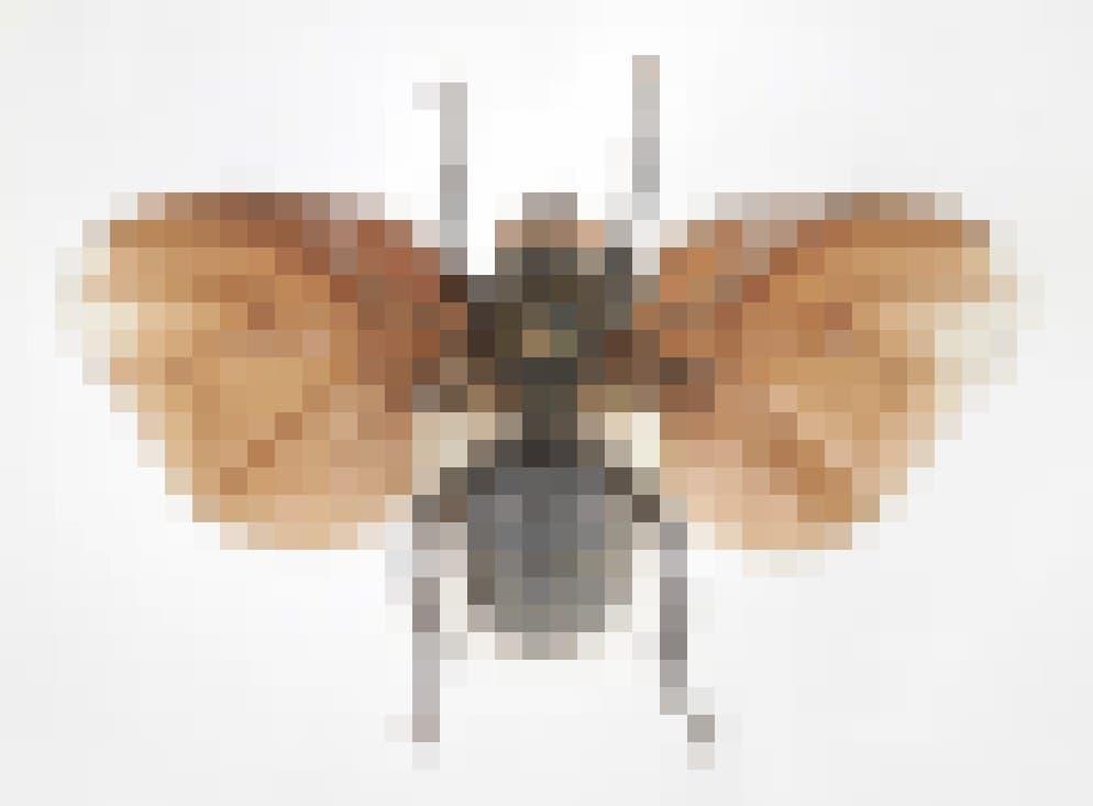 Eine braune Fliege mit für diese Insektenordnung ungewöhnlich großen Flügeln. Sie sind so breit, dass sie vom Kopf bis zur Mitte des Hinterleibs reichen.