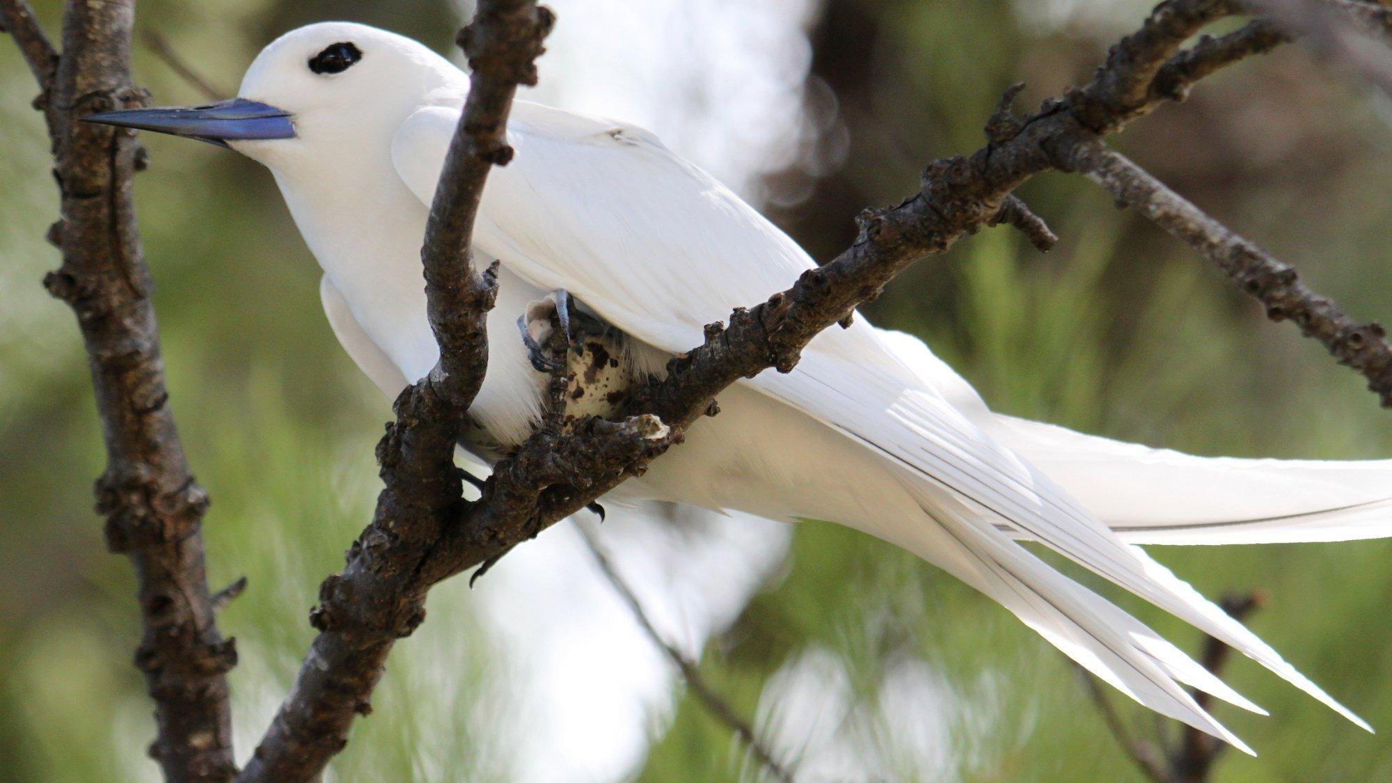 Ein Vogel mit weißem Gefieder und blauschwarzem Schnabel sitzt auf einer Astgabel und bebrütet ein weiß-braun geflecktes Ei.