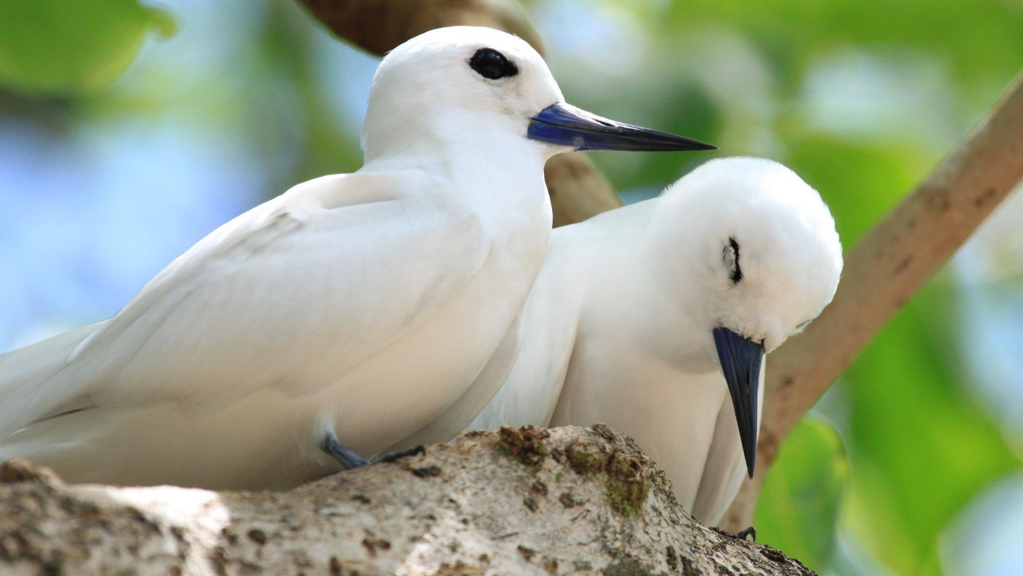 Zwei weiße Vögel sitzen nebeneinander auf einem Ast, einer scheint zu dösen.