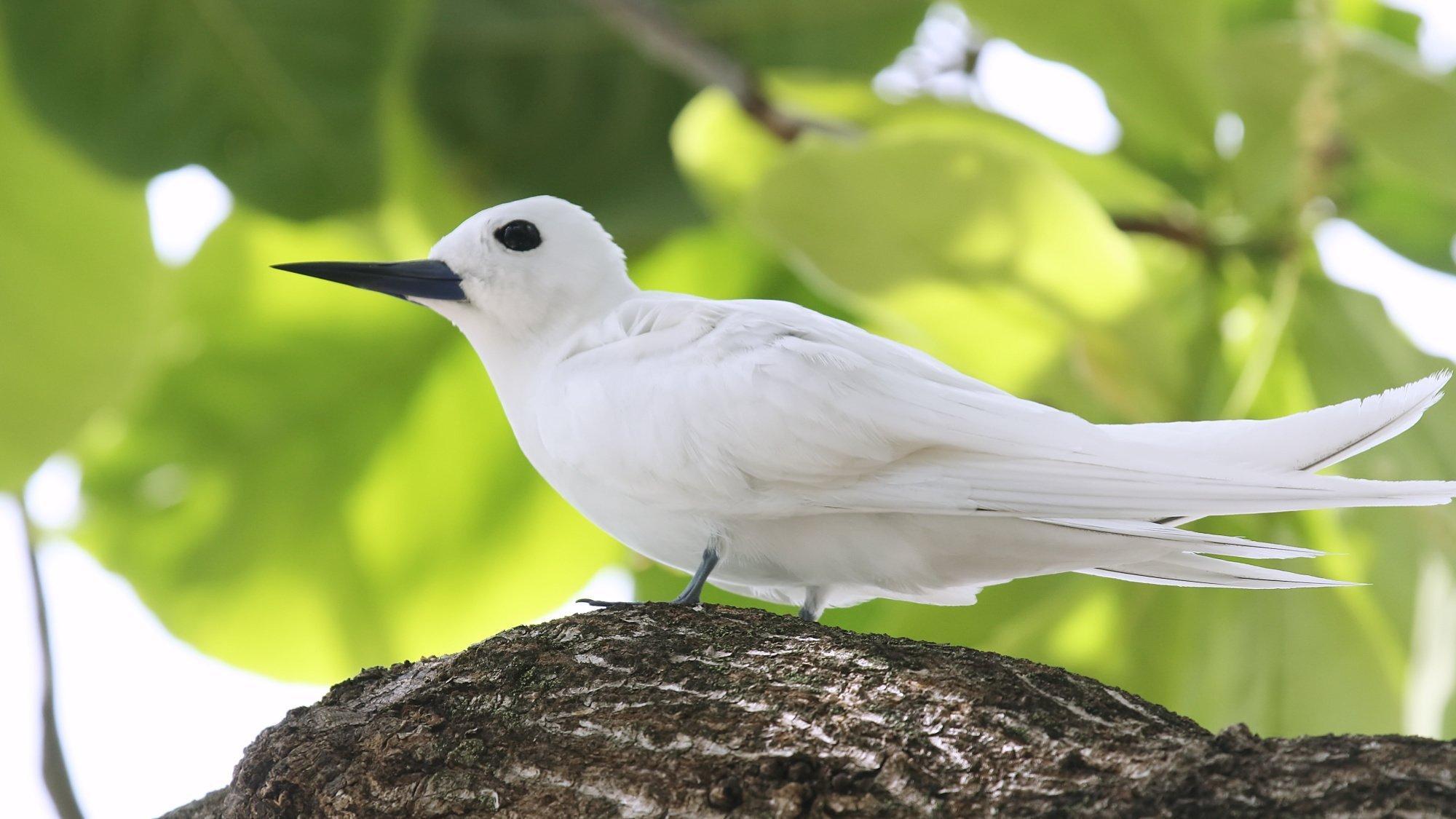 Ein weißer Vogel mit blauschwarzem Schnabel sitzt auf einem Ast vor grünen Blättern im Hintergrund.