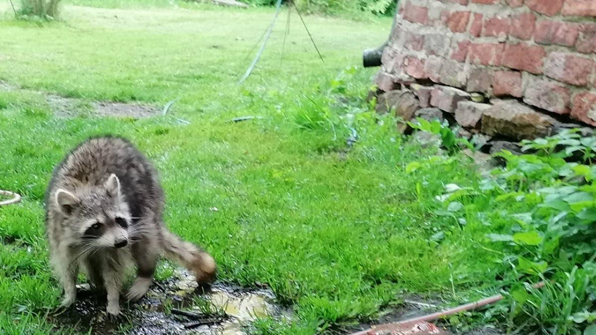 ein Waschbär geht über den frisch gemähten Rasen
