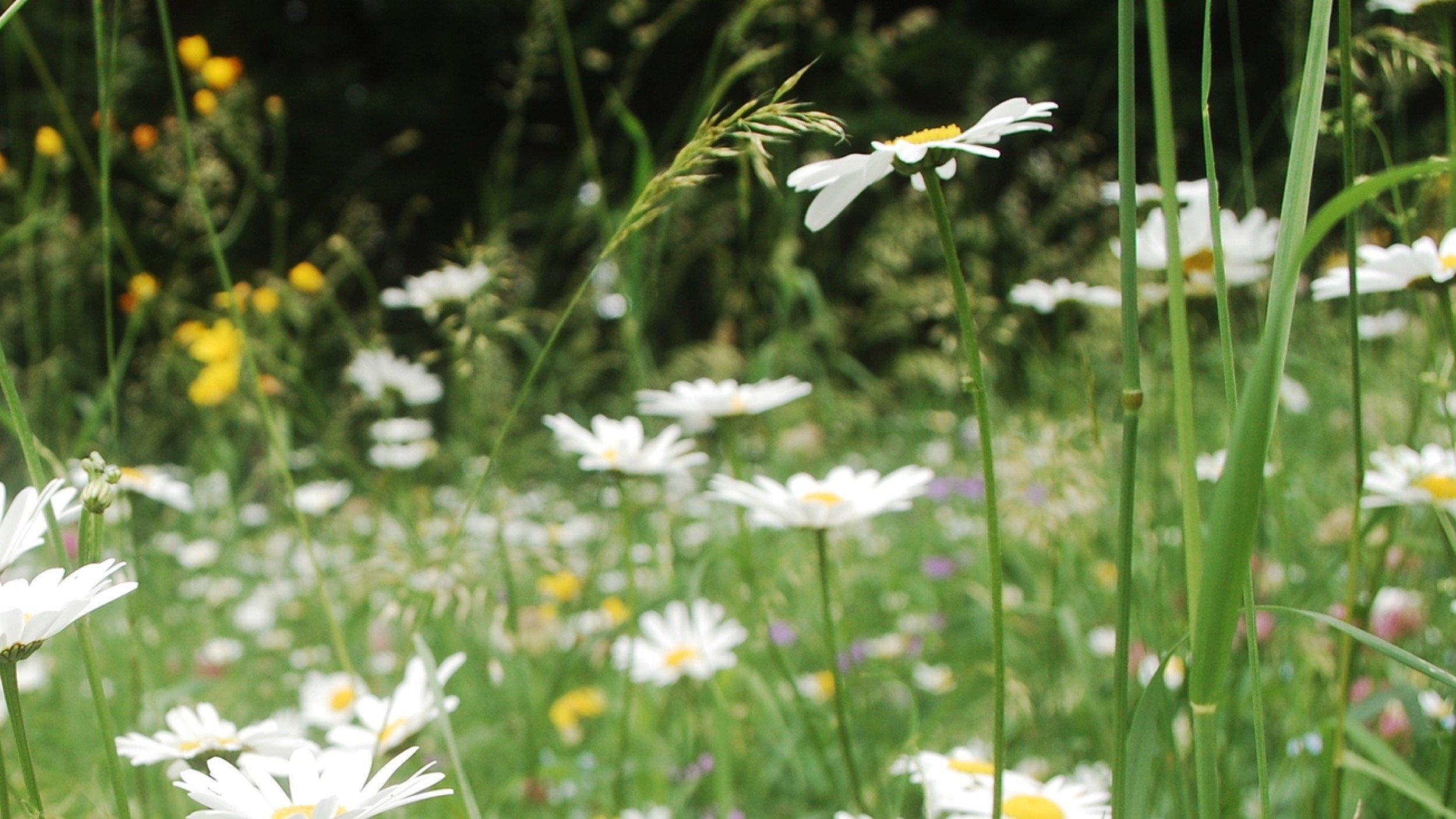 Nahaufnahme einiger kleinen, weißen Blumen auf einer Blumenwiese.