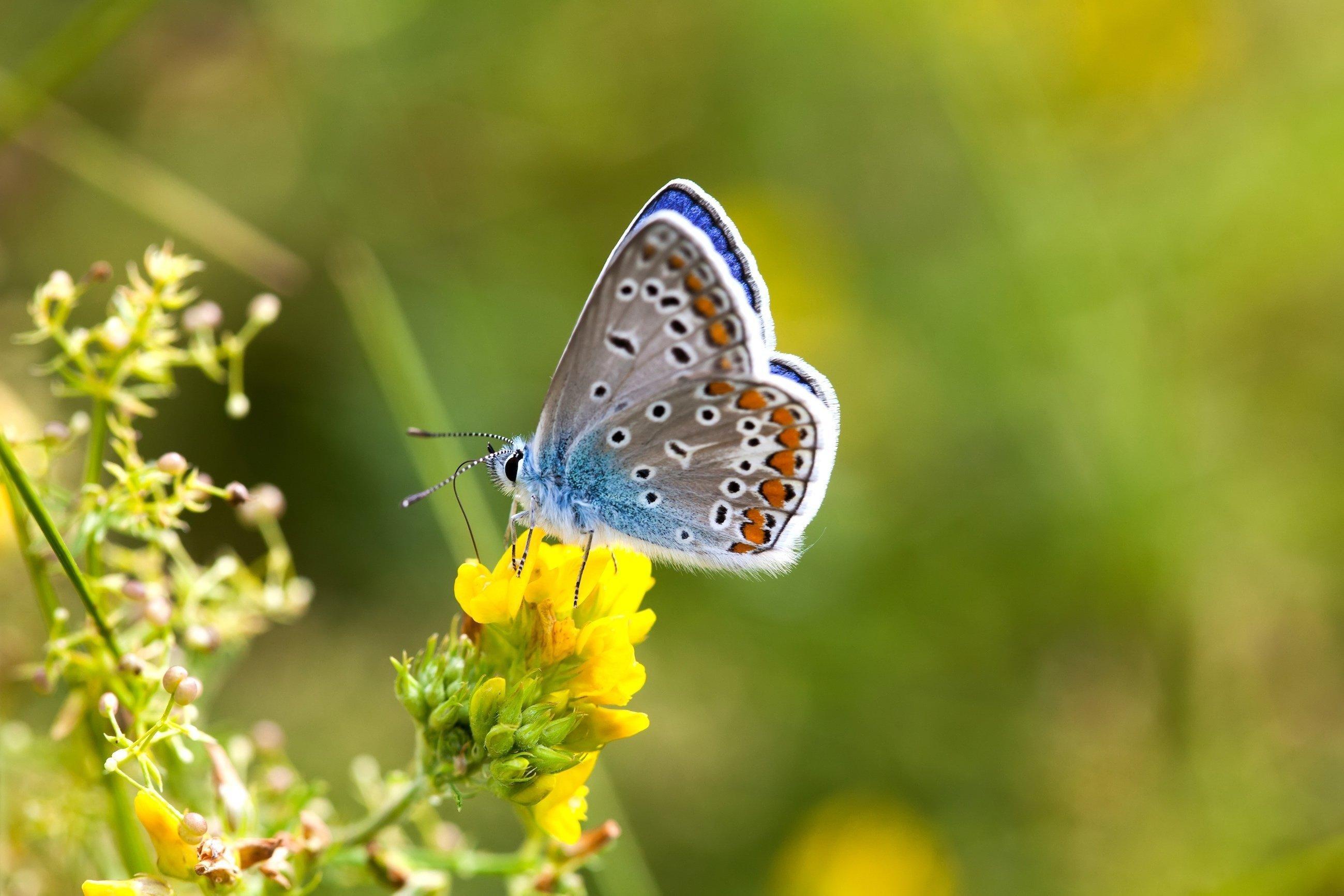 Ein Schmetterling (Hauhechel-Bläuling) sitzt auf einer Blume.