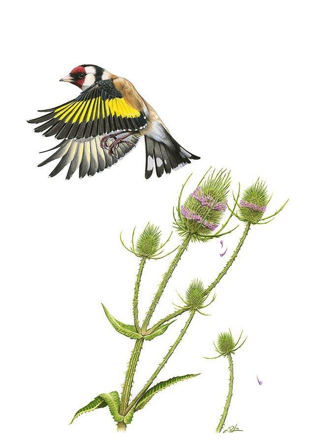 Ein kleiner Vogel mit rotem Gesicht und schwarz-gelben Flügeln hebt von einer Distel mit lavendelfarbenden Ringen um den Blütenkopf.