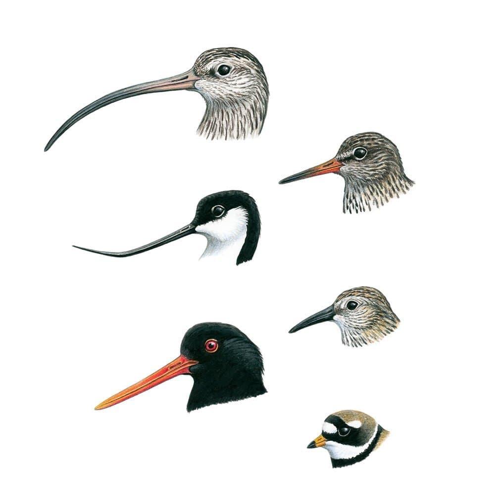 Eine Zeichnung von Köpfen verschiedener Vögel mit unterschiedlichen Schnabelformen.