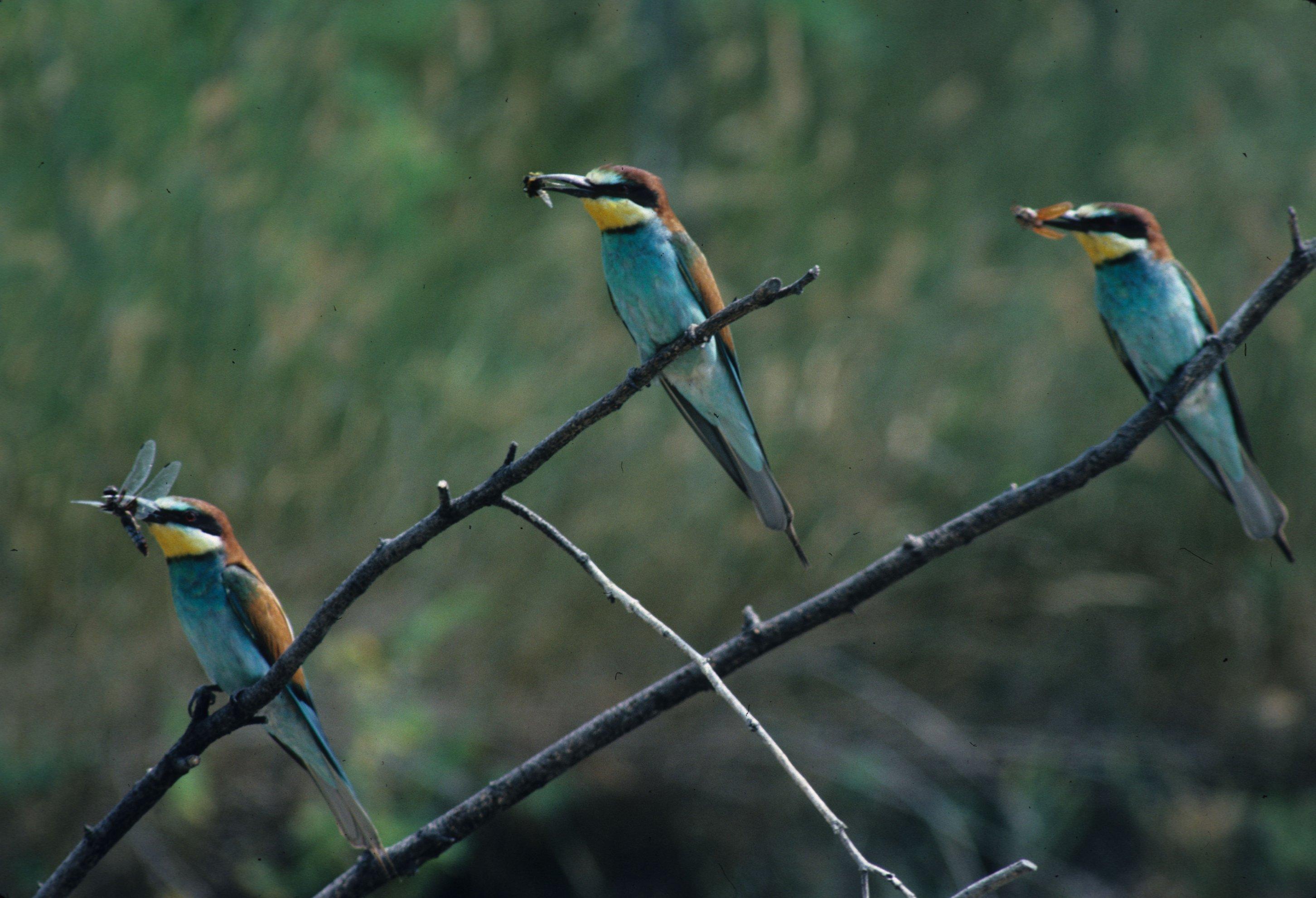 Drei Binenfresser sitzen auf verschiedenen Ästen und haben Insekten im Schnabel.