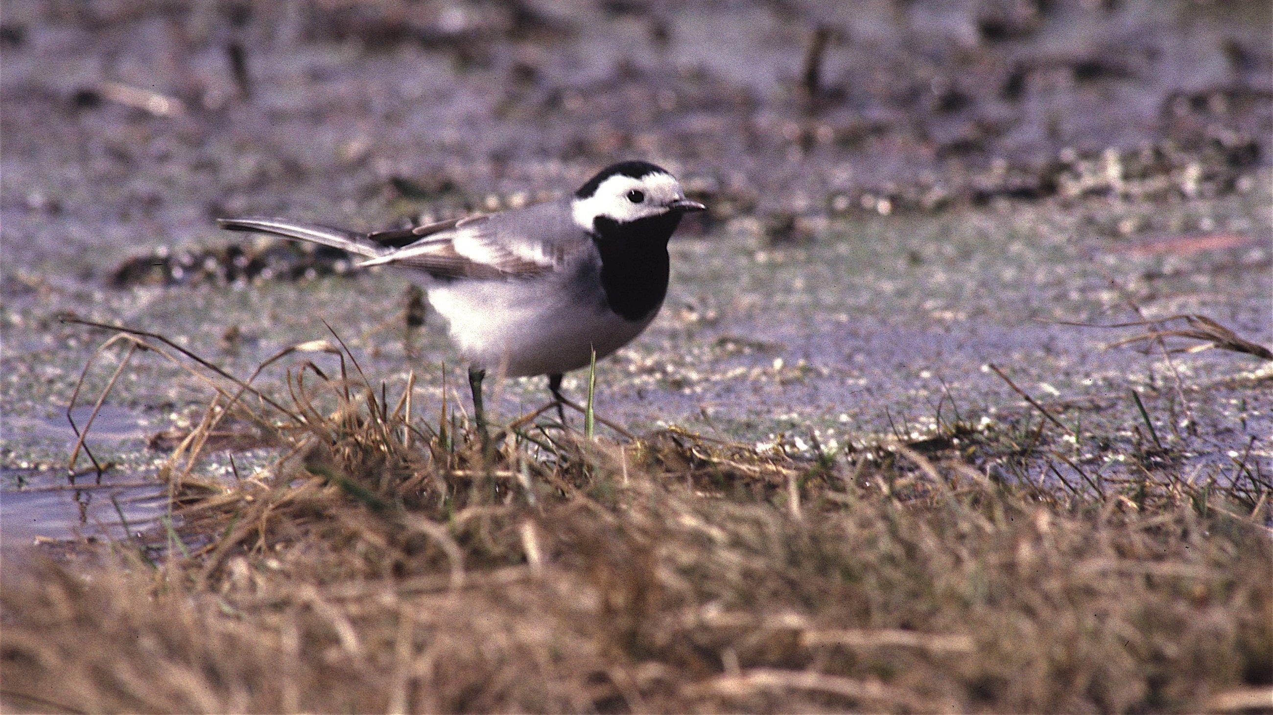 Eine Bachstelze – ein Singvogel mit schwarz-weißem Gefieder – steht neben einem Fluss im Gras.