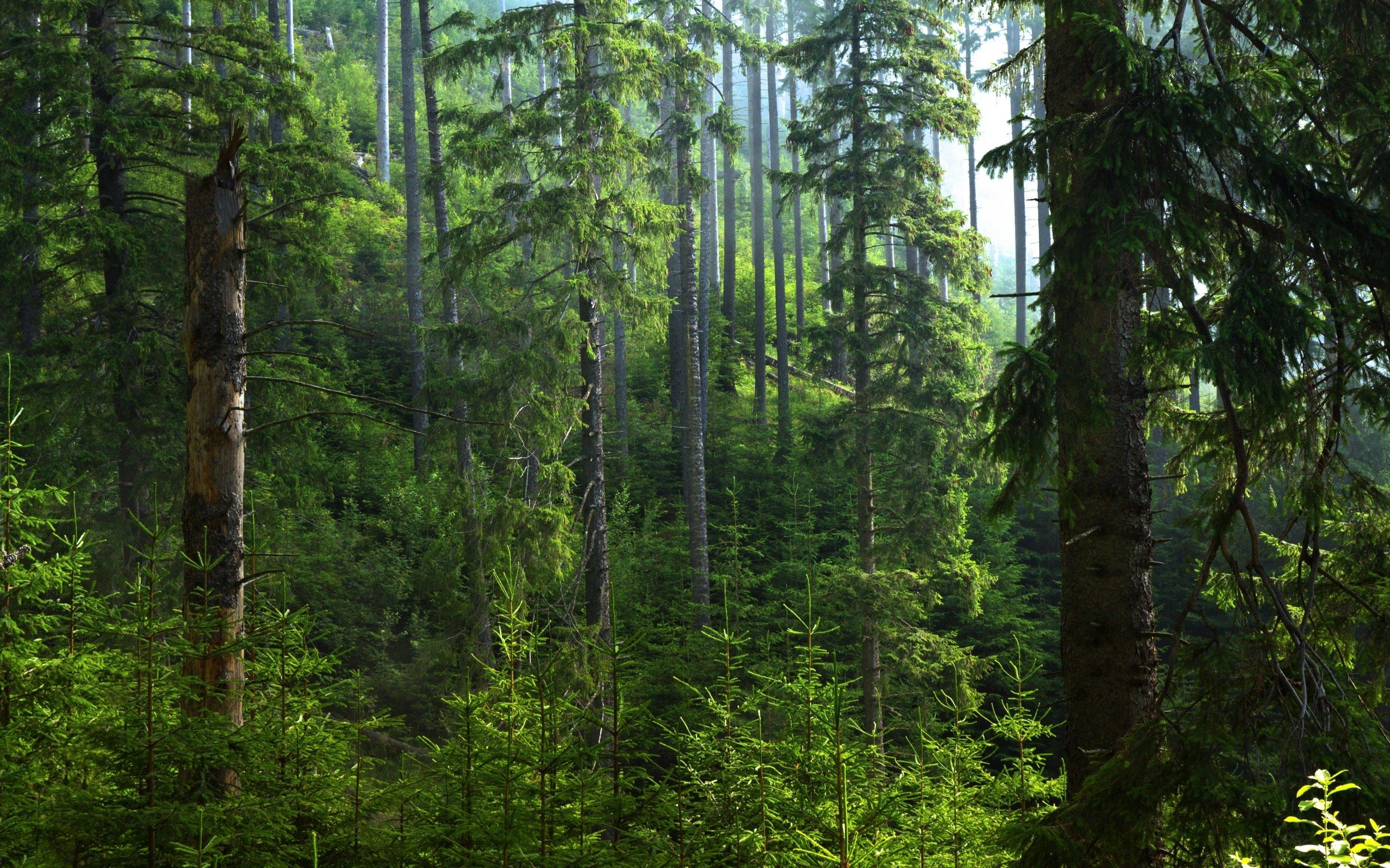 Aufnahme aus einem Nadelwald mit teils hohen Bäumen.