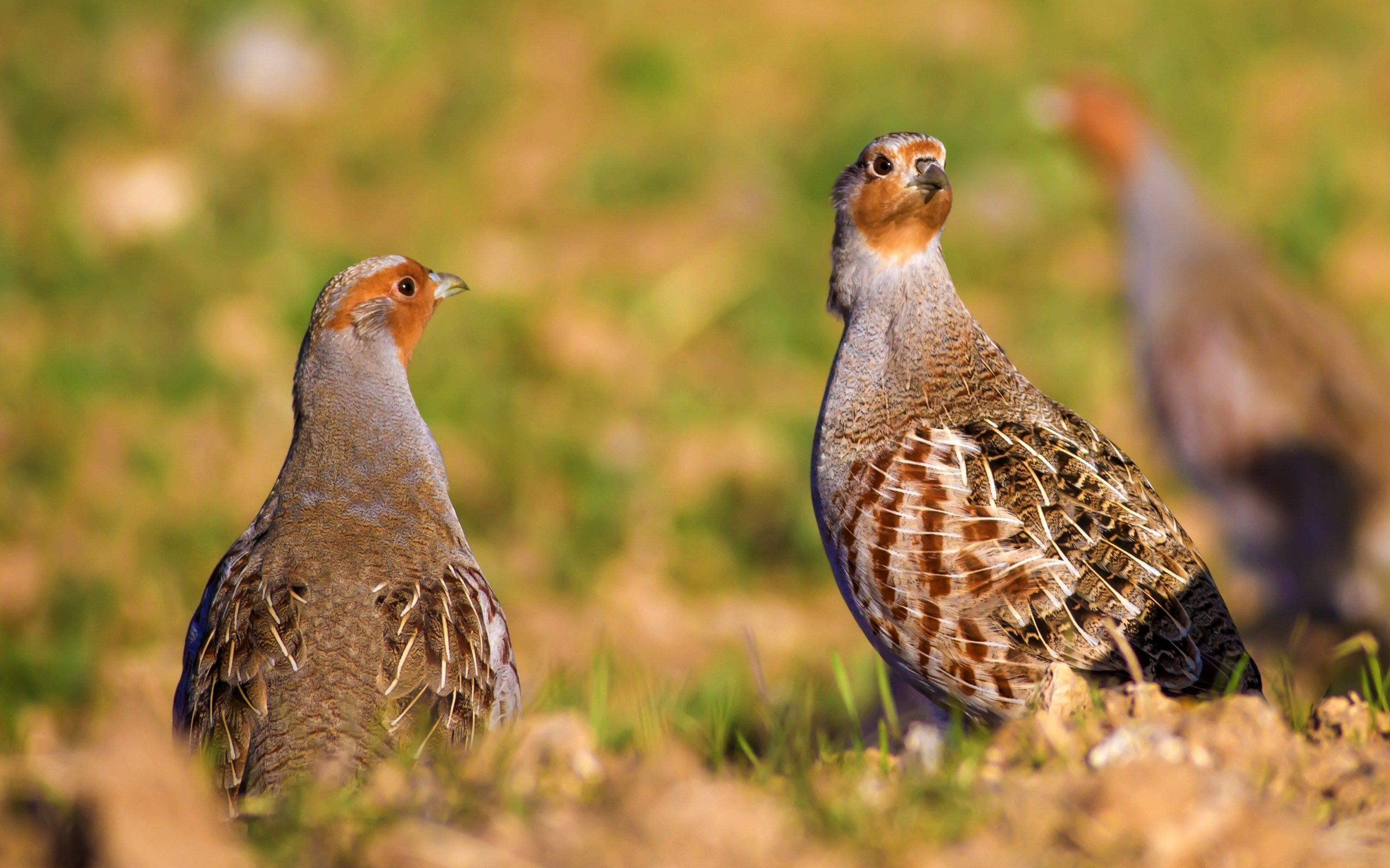 Aufnahme von zwei Rebhühnern auf einer Wiese. Im Hintergrund kann man ein weiteres Rebhuhn erkennen.