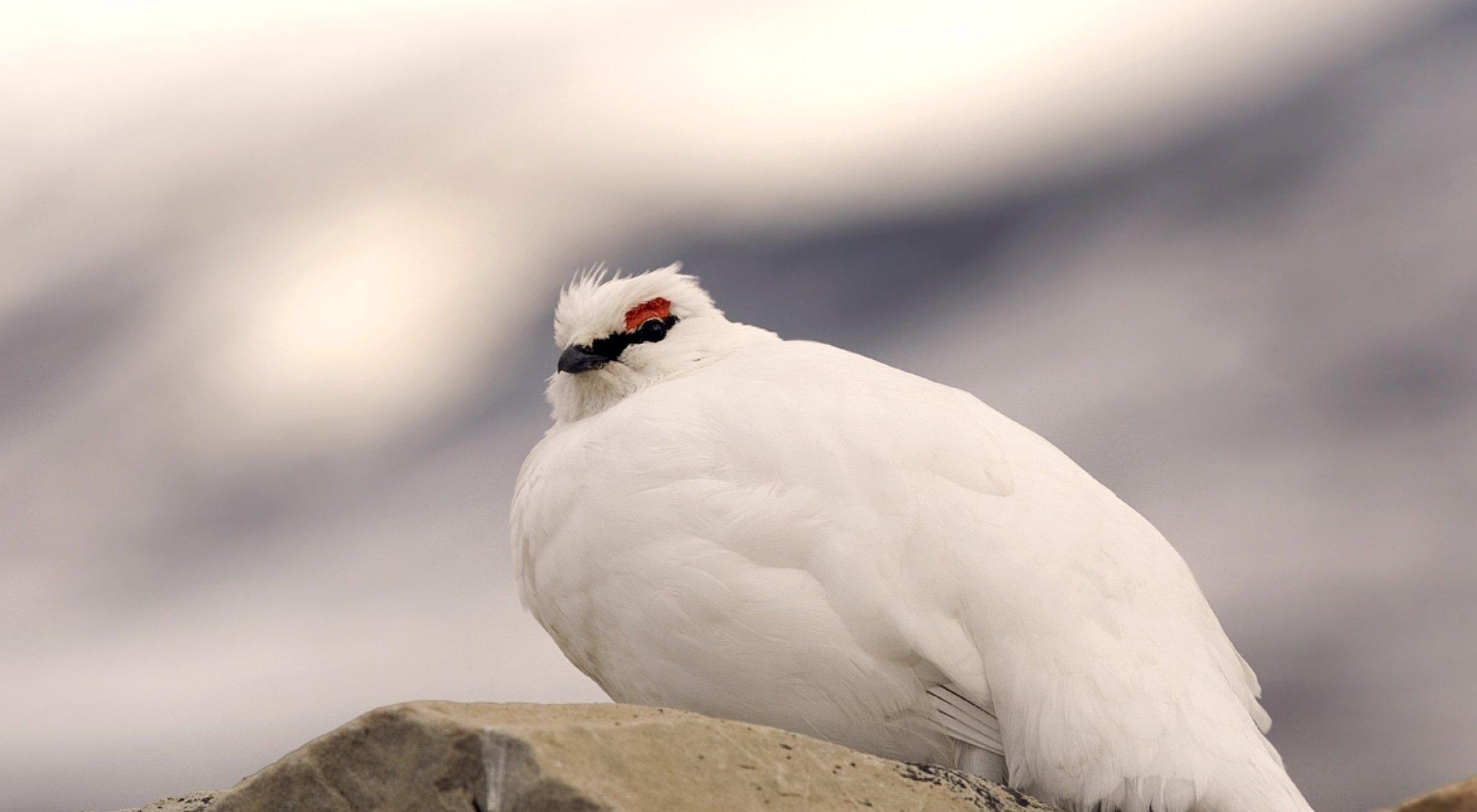 Ein komplett weißes Alpenschneehuhn sitzt auf einem Stein. Der Himmel im Hintergrund ist bewölkt