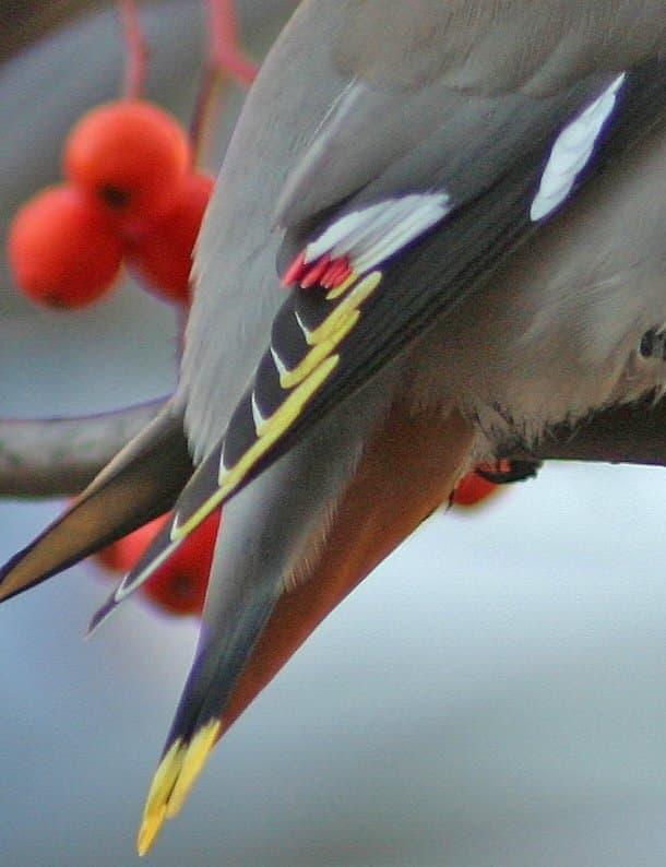 Nahaufnahme des Schwanzes eines Seidenschwanz (Bombycilla garrulus).