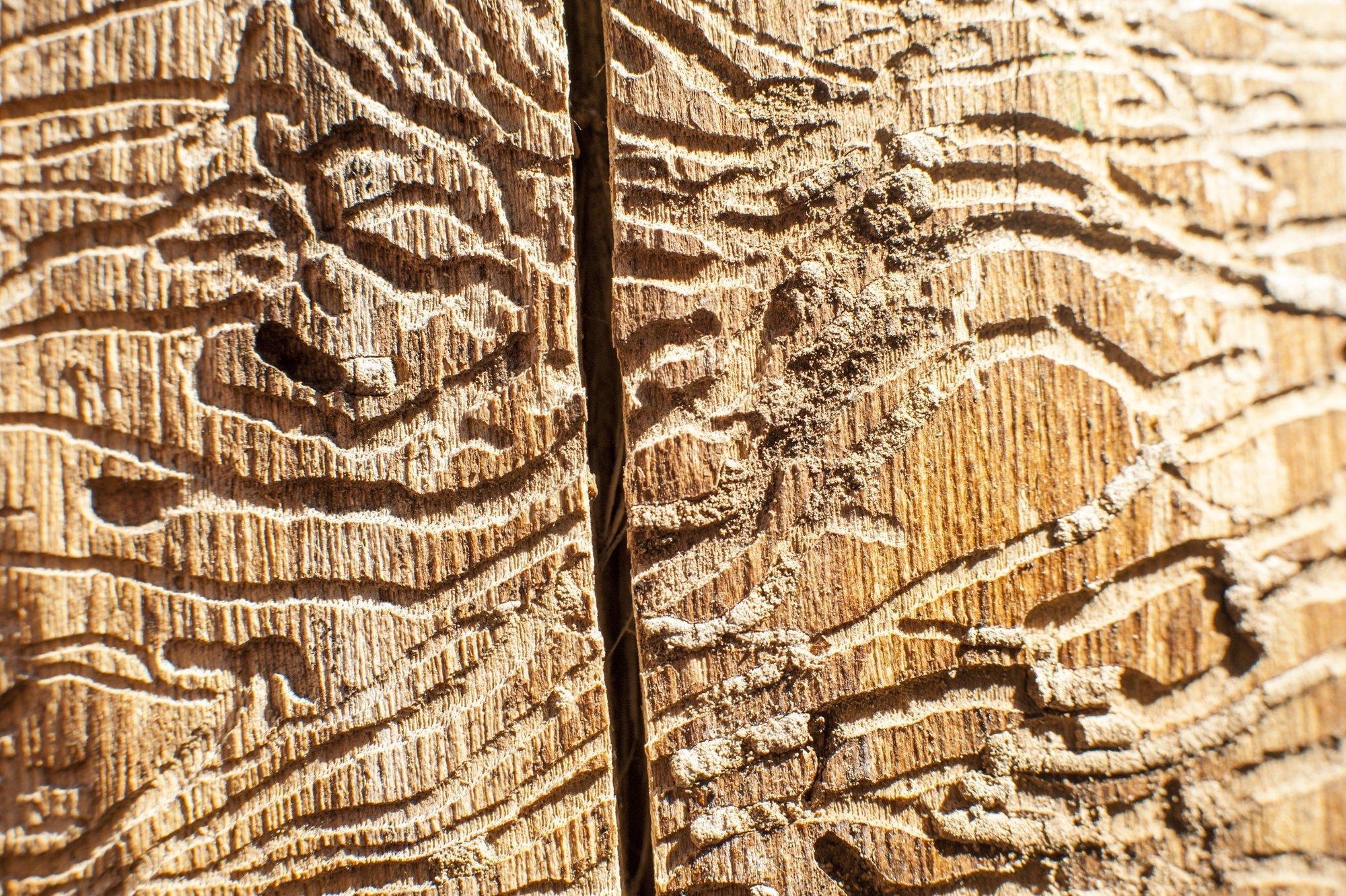 Spuren von Borkenkäfern im Holz.