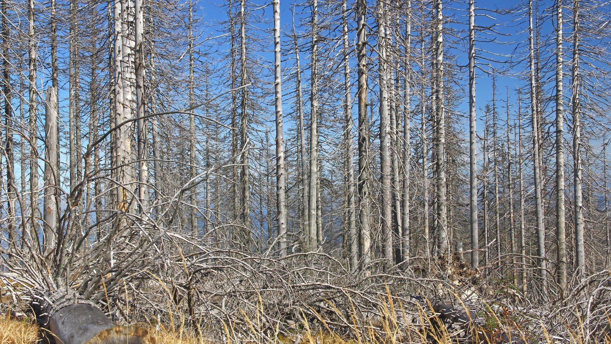 Ein Waldstück mit trockenen, abgestorbenen Bäumen. Sie haben keine Nadeln mehr und die Stämme sind sehr hell.