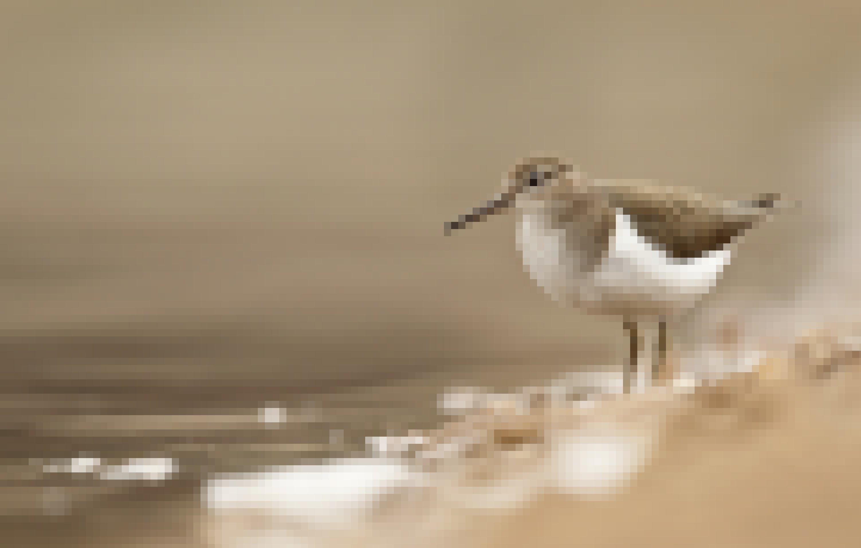 Den Flussuferläufer erkennt man an einer weißen Einbuchung an der Vorderseite des Flügels. Er fliegt gerne knapp über der Wasseroberfläche.