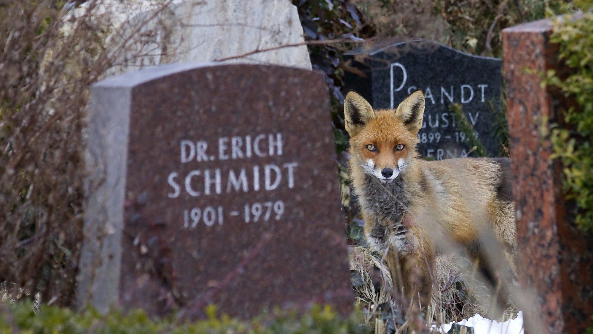 Ein Fuchs steht zwischen Grabsteinen.