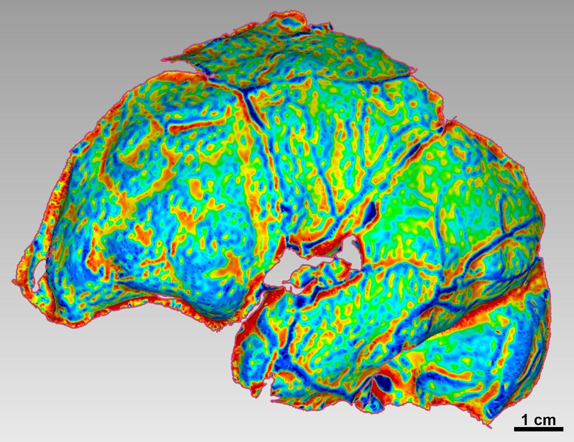 Hier ist eine graphische Darstellung der Bögen und Wölbungen des Gehirns von Homo naledi zu seihen. Sie zeigt, dass das Gehirn des kleinen Urmenschen moderne Strukturen enthielt.