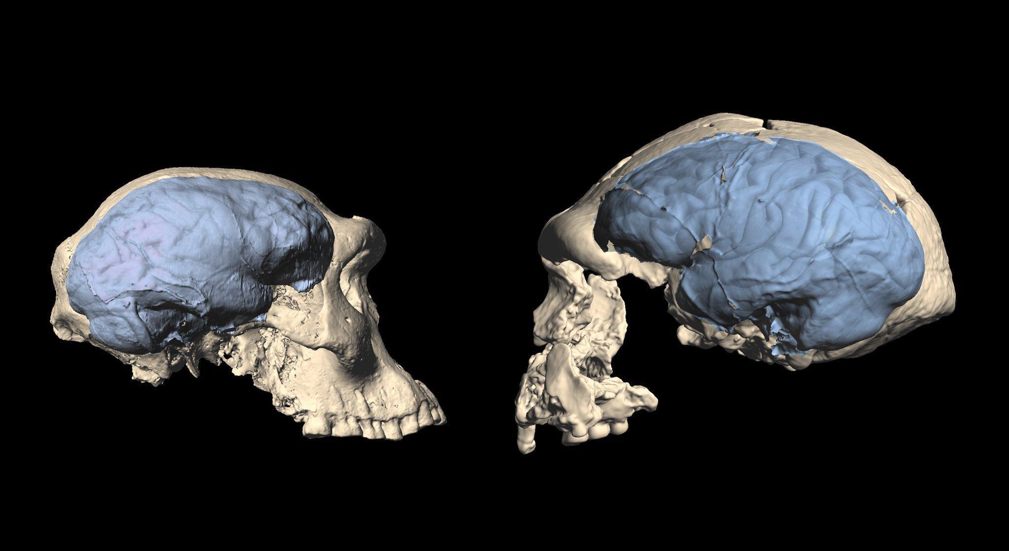 Das Foto zeigt zwei helle Urmenschen-Schädel, die sich gegenüberstehen und ansehen. Blau eingezeichnet sind die Hirnstrukturen. Der linke Schädel, aus Georgien stammend, wirkt primitiver, der rechte Schädel ist größer und wirkt fortschrittlicher. Vor allem das Stirnhirn ist dort stärker entwickelt und lässt auf höhere geistige Fähigkeiten schließen.