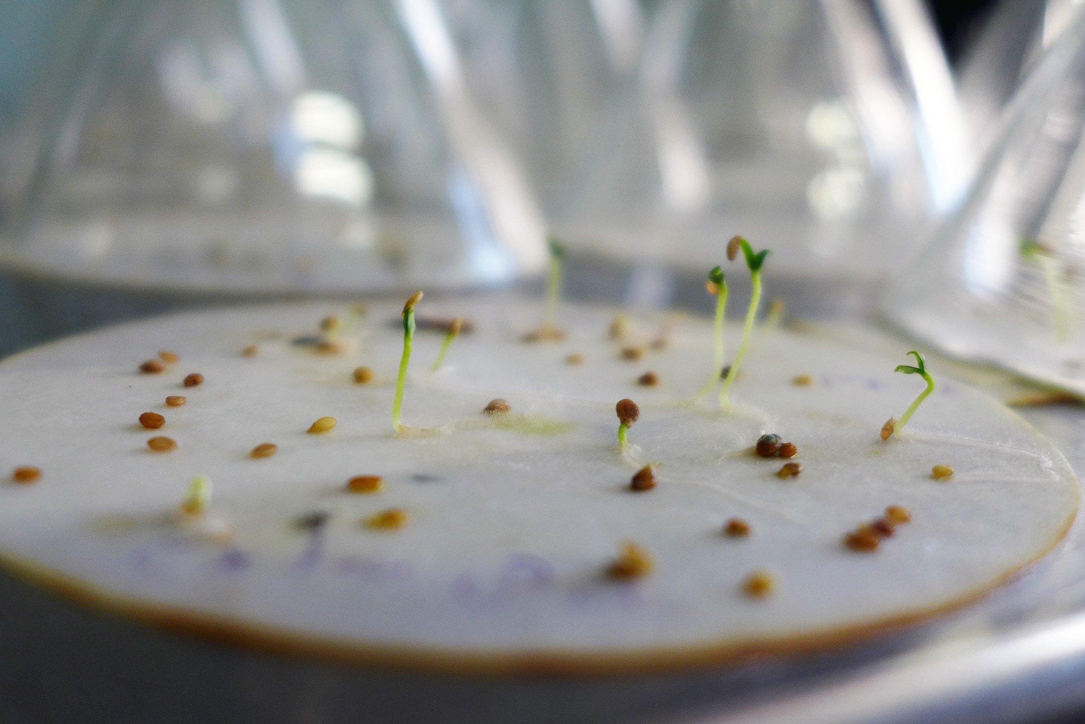 Samen liegen auf einem Papierfließ im Labor. Einige haben bereits zarte grüne Keimlinge entwickelt, andere liegen noch ungekeimt herum.