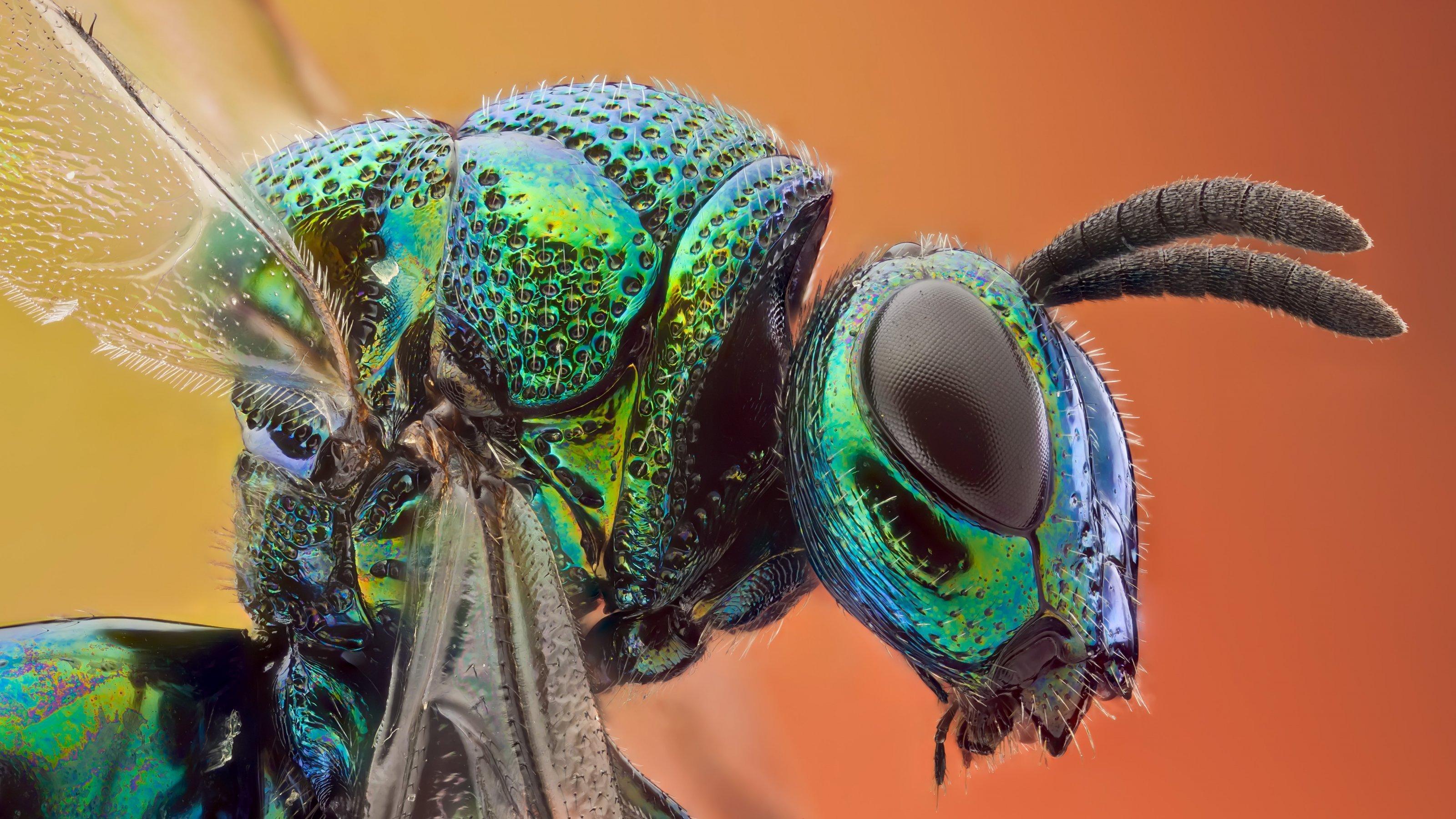 Eine Nahaufnahme zeigt ein grün schimmerndes Insekt.