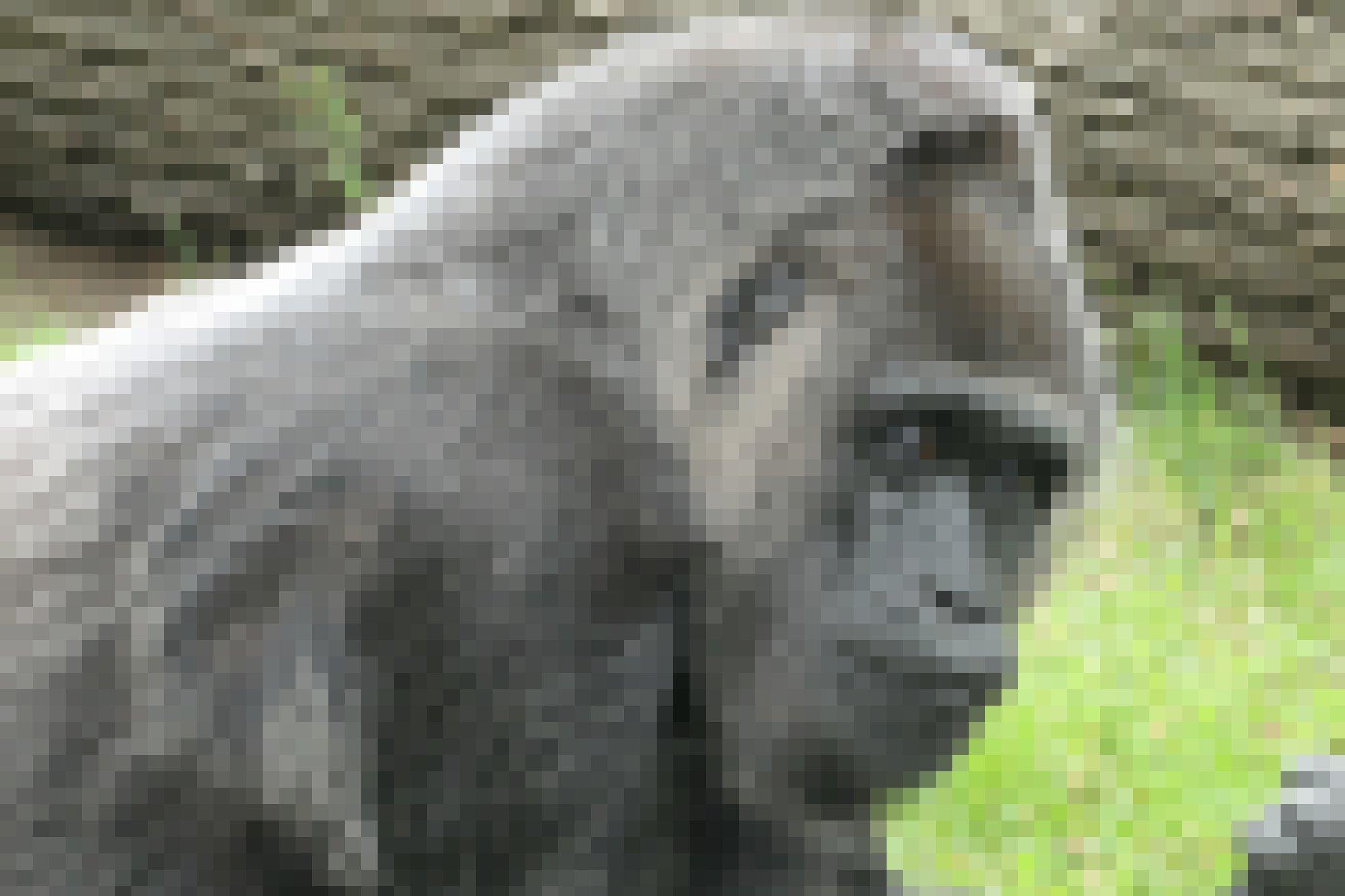 Das Bild zeigt den weiblichen Gorilla Fatou, der im Zoologischen Garten Berlin lebt und bereits über 60Jahre alt ist. Die schon etwas ergraute Affendame gilt als ältester im Zoo lebender Gorilla. Ihr Blick wirkt sehr menschlich, etwas in sich gekehrt und nachdenklich.