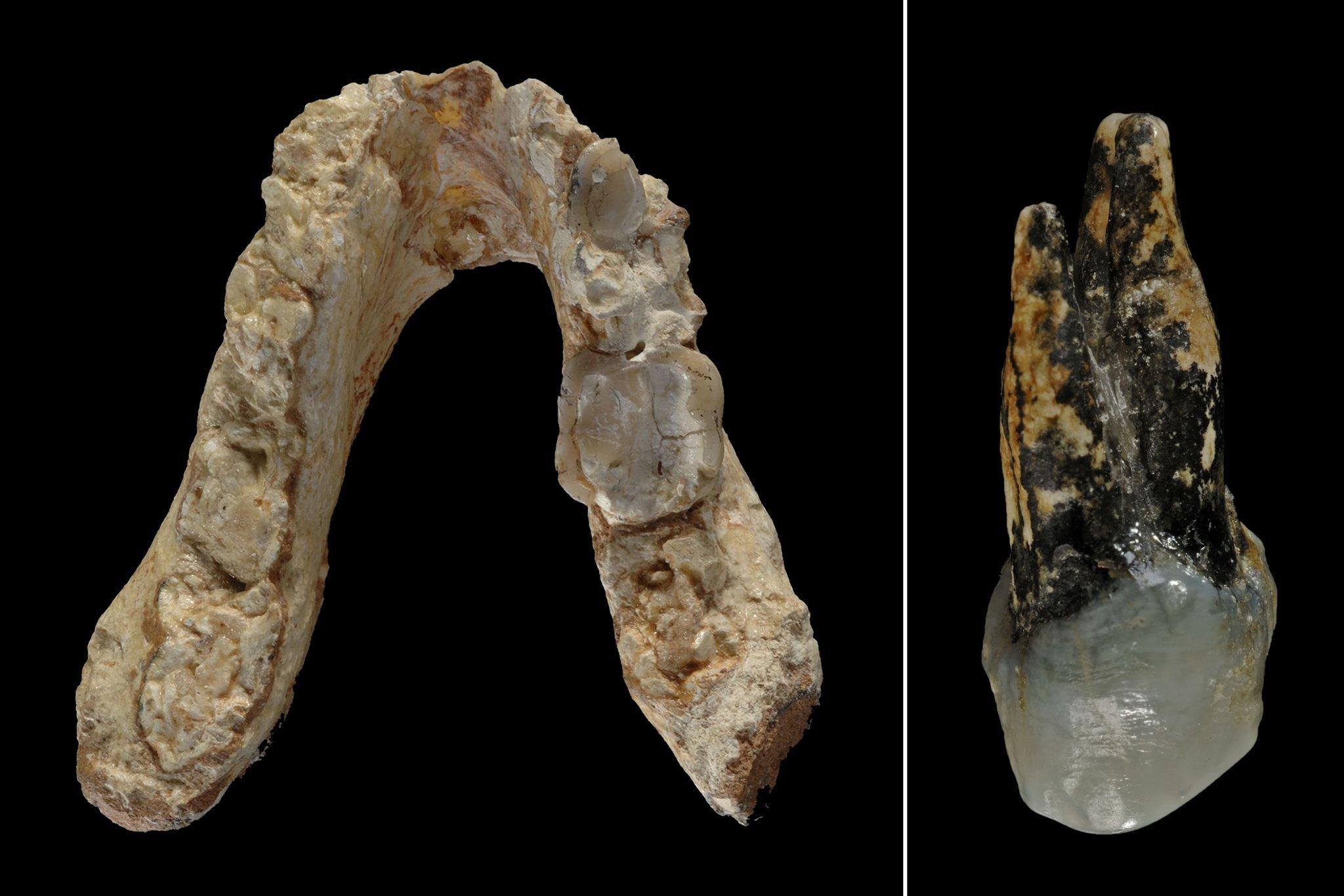 Auf dem Foto ist links der fossile Unterkiefer und rechts ein Vorbackenzahn von Graecopithecus freybergi zu sehen. Die Tübinger Forscherin Madelaine Böhme glaubt, dass es sich um die Relikte eines Vormenschen handelt, der vor mehr als sieben Millionen Jahren in Europa lebte und bereits aufrecht gehen konnte. Die Funde wurden in Griechenland und Bulgarien gemacht.